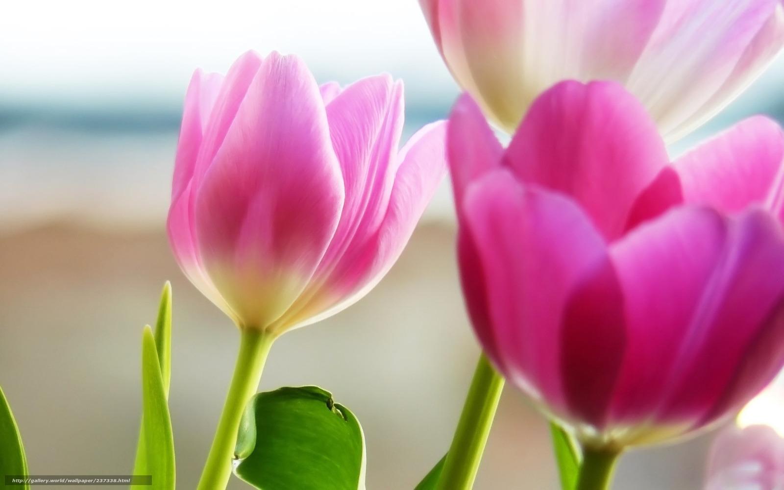 Скачать обои розовые лепестки цветы