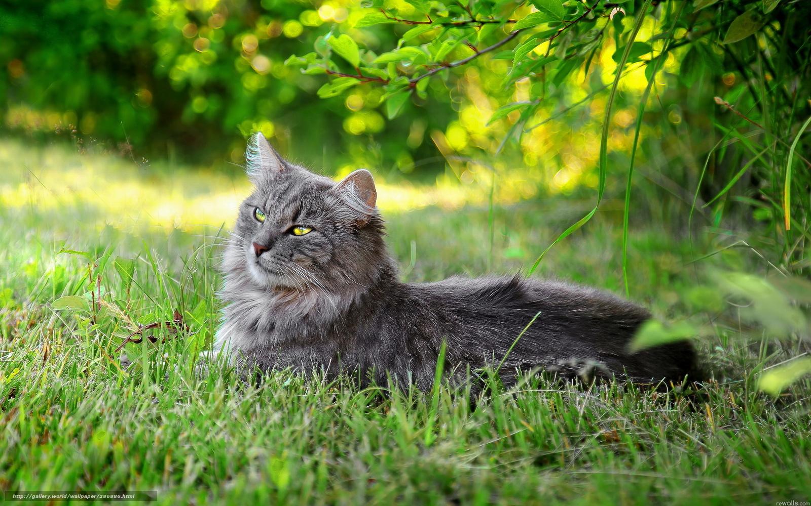 bengal kittens blue eyes