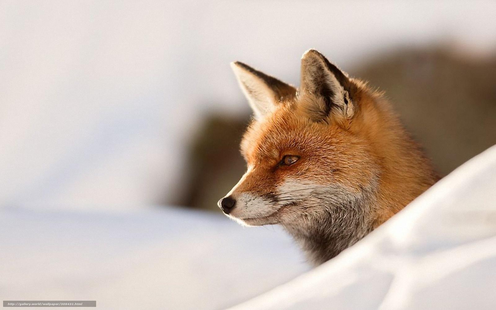 Tlcharger fond d 39 ecran renard hiver neige fonds d 39 ecran for Fond ecran hiver animaux