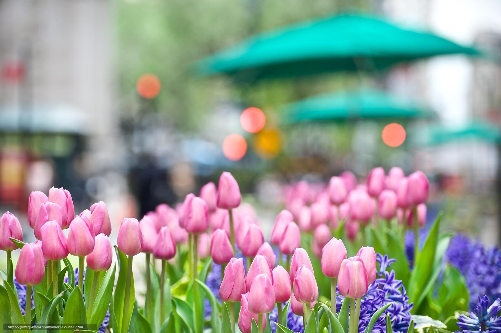 Скачать обои тюльпаны розовые цветы