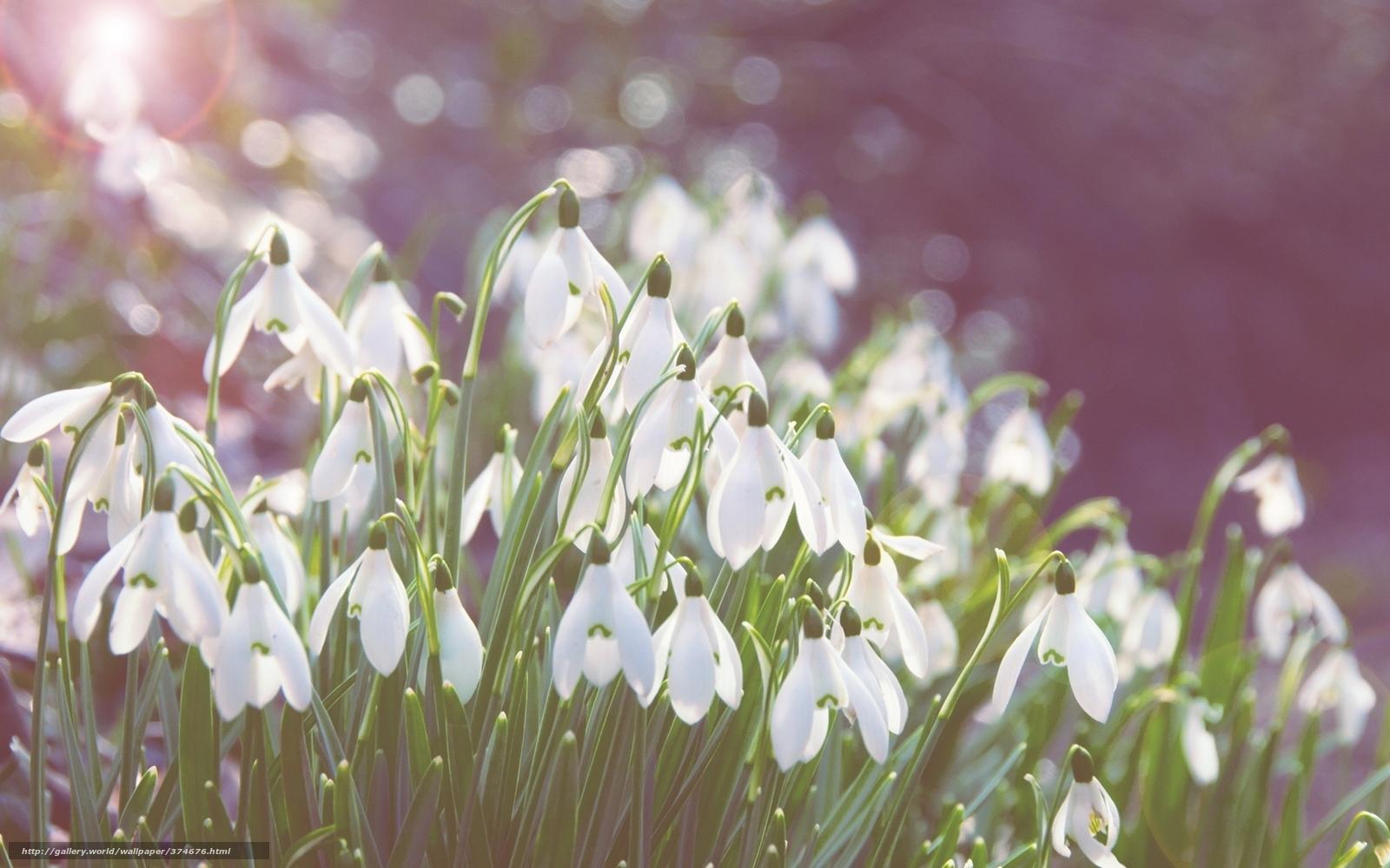 первые цветы весны обои для рабочего стола