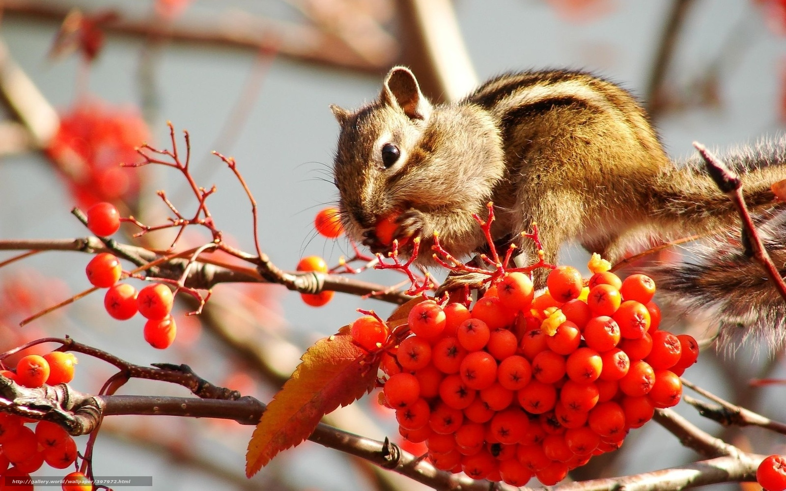 Рябина ягоды бурундук плоды запасы