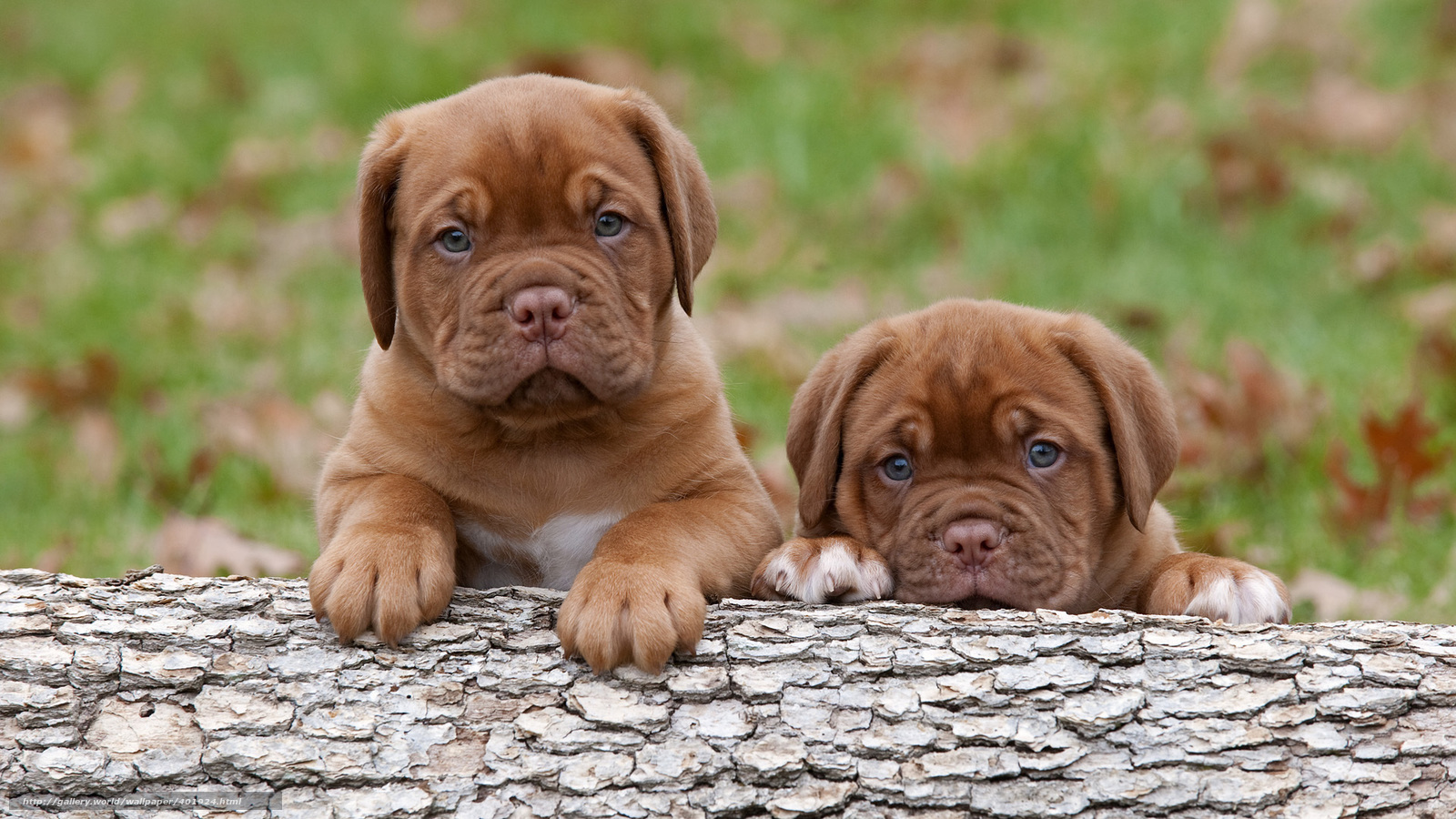 Tlcharger fond d 39 ecran dogue de bordeaux chiots chiens les tout petits - Les petits hauts bordeaux ...