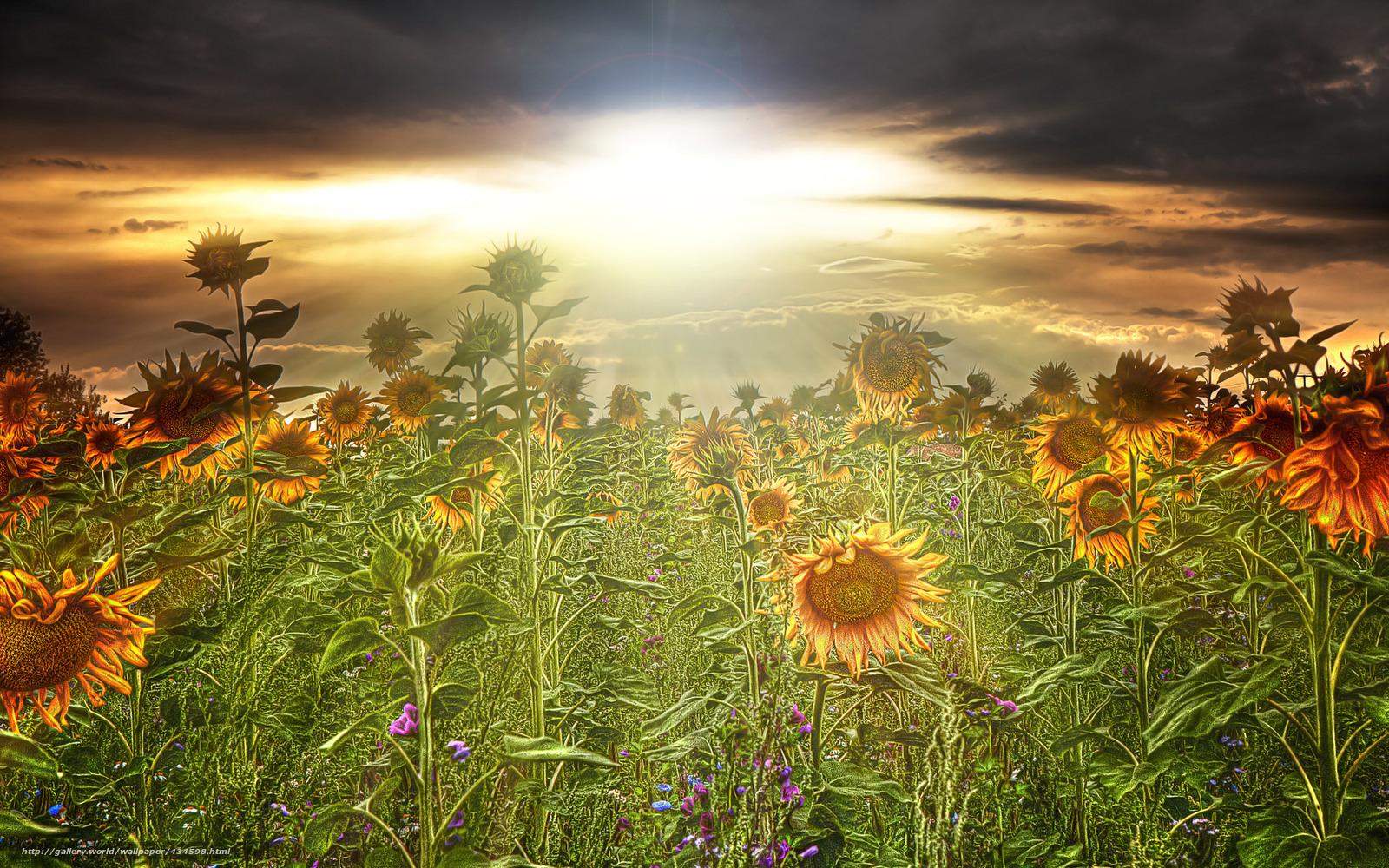 Обои подсолнухи лучи солнца цветы