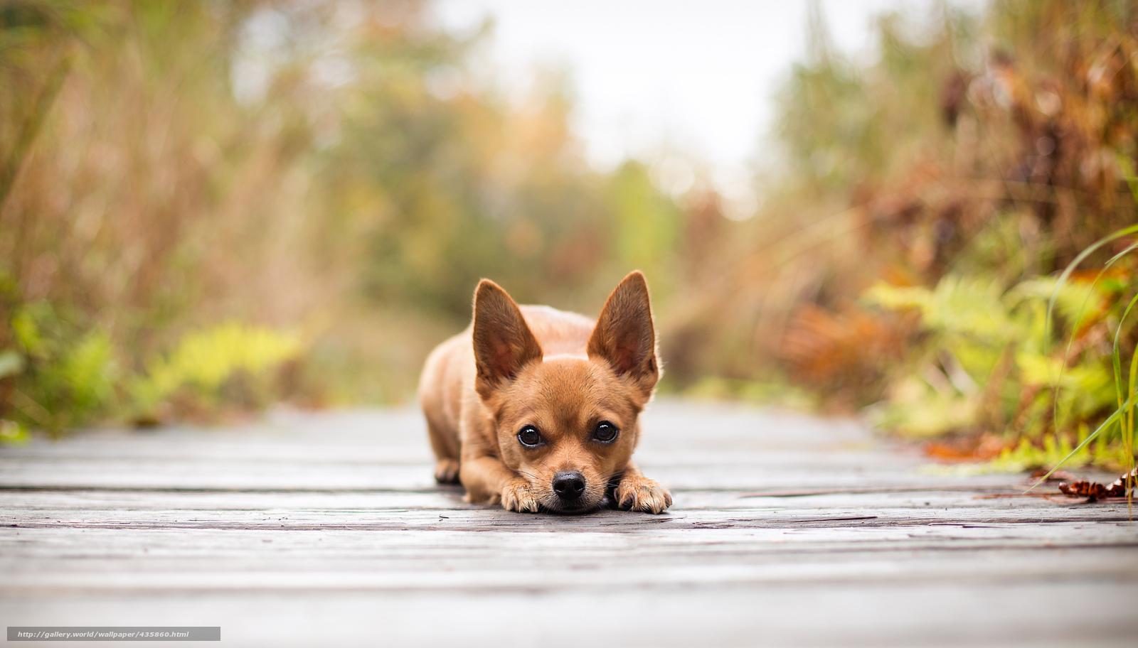 perro chihuahua fondo de - photo #26