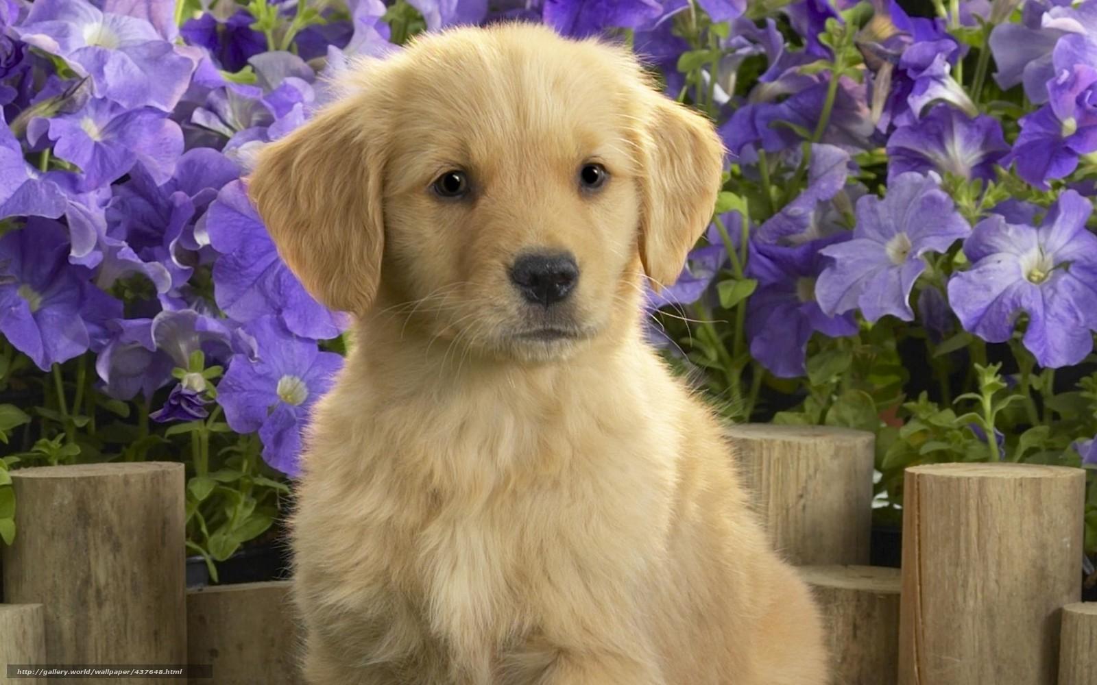 Скачать обои щенок лабладор цветы