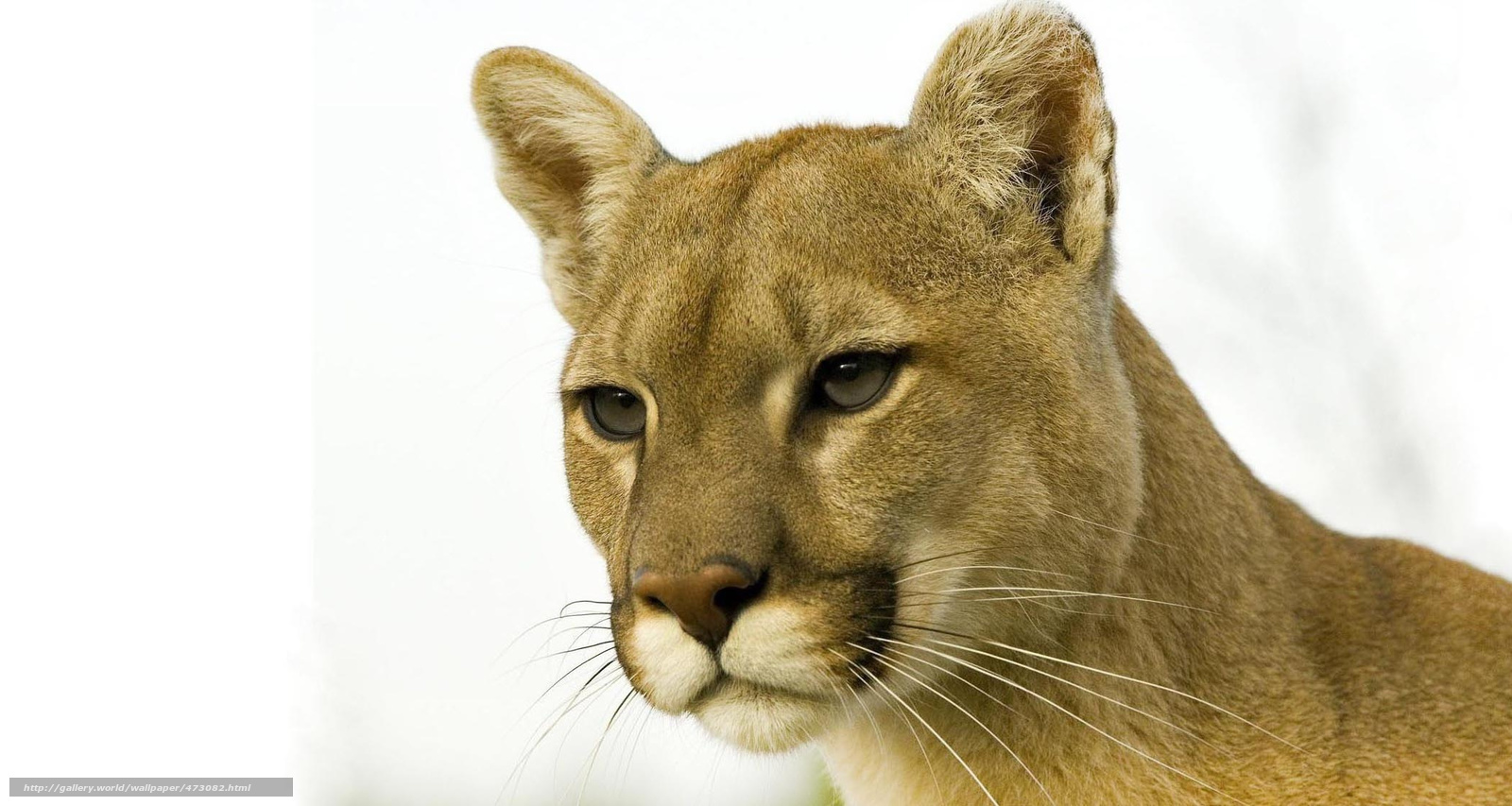 tlcharger fond d 39 ecran puma puma lion de montagne chat sauvage fonds d 39 ecran gratuits pour. Black Bedroom Furniture Sets. Home Design Ideas
