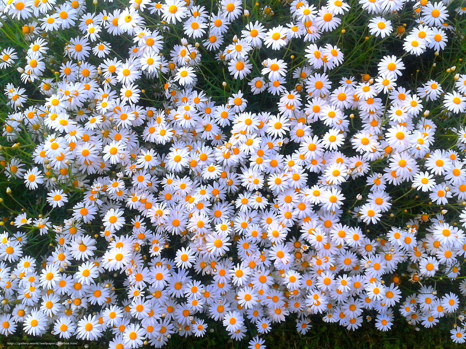 Поле цветы ромашки все бесплатно на