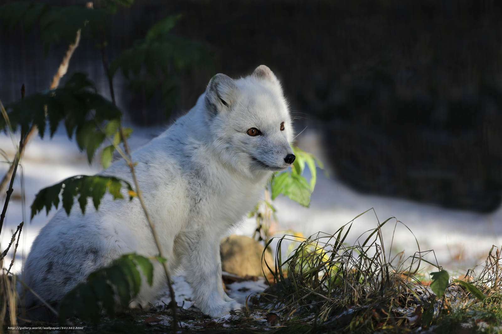 Arctic Fox moreover 414753446917507734 as well Index also IfEaT7Gb8mNEs together with RED 20FOX 20 SILVER 20PHASE. on arctic fox