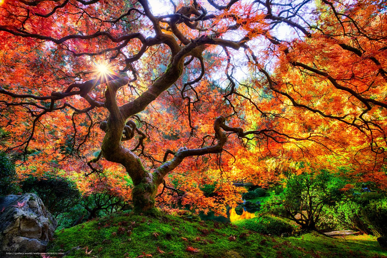 Tapeten Japanischer Garten : Famous Tree in Japanese Garden Portland