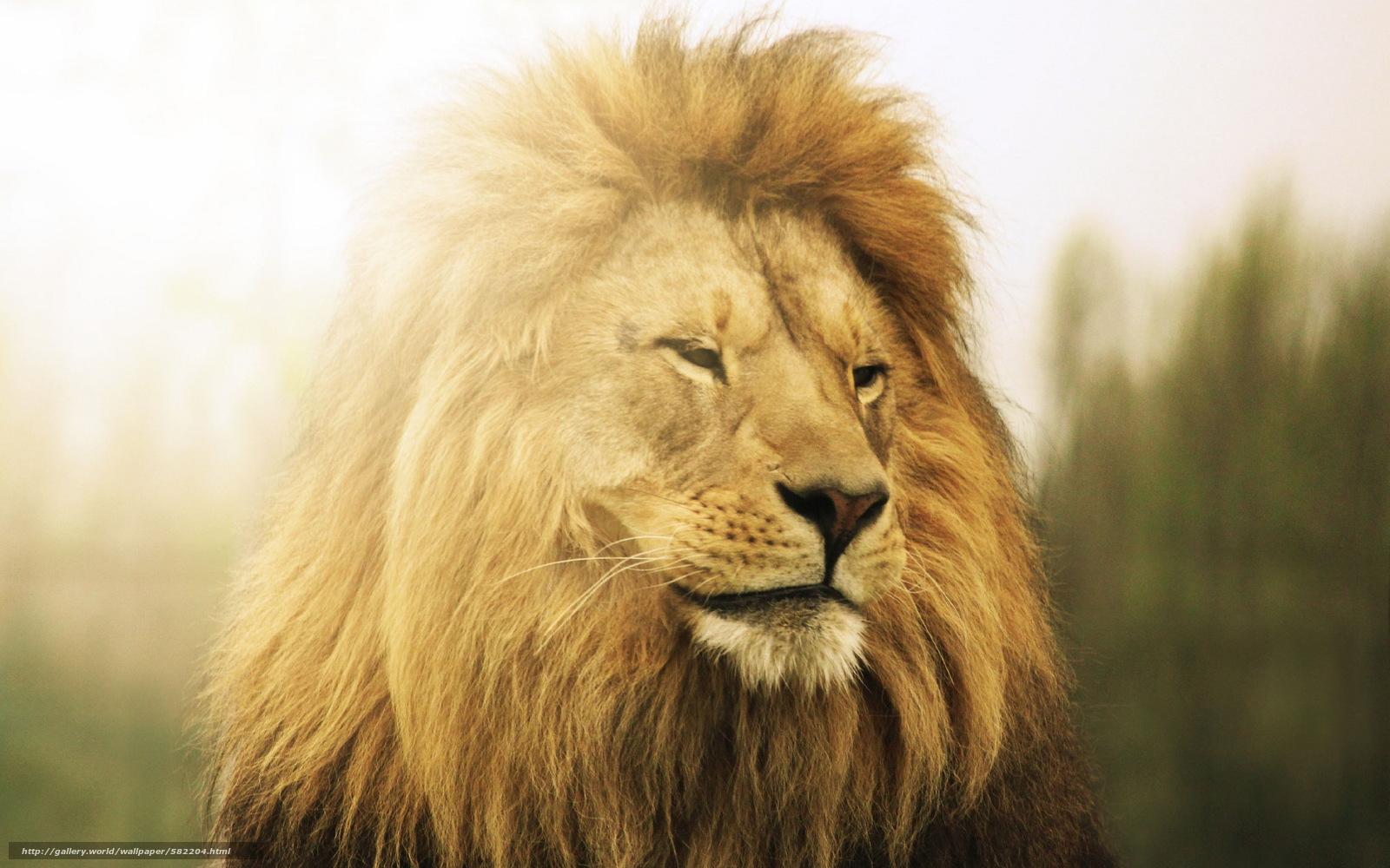 Download hintergrund könig lion bestie freie desktop tapeten in der
