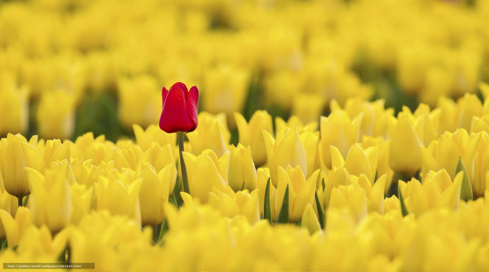 下载壁纸 黄色, 郁金香, 红色 免费为您的桌面分辨率 ...: cn.gde-fon.com/download/wallpaper/587831/2048x1140