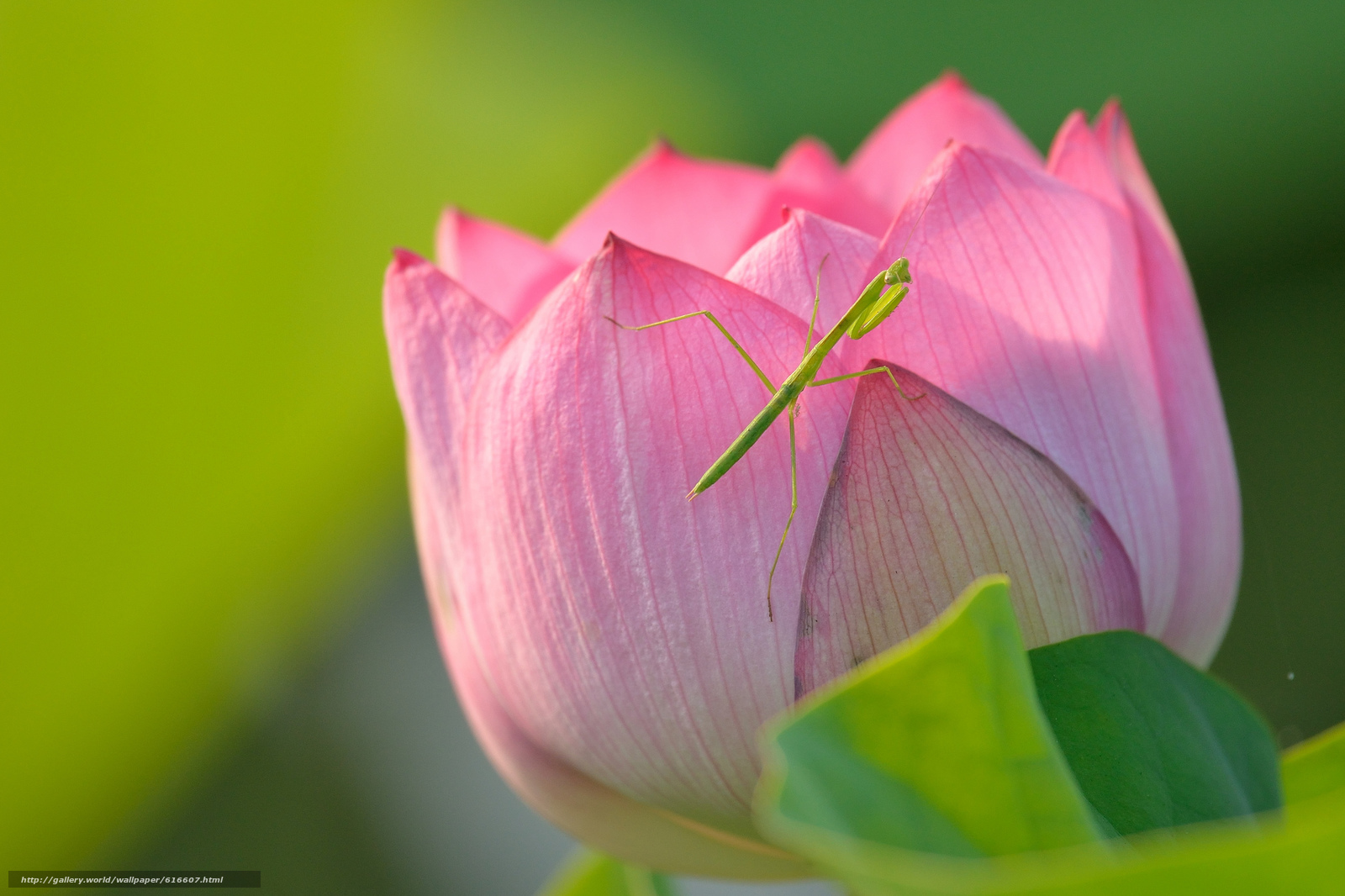 Download Wallpaper Lotus Mantis Insect Macro Free