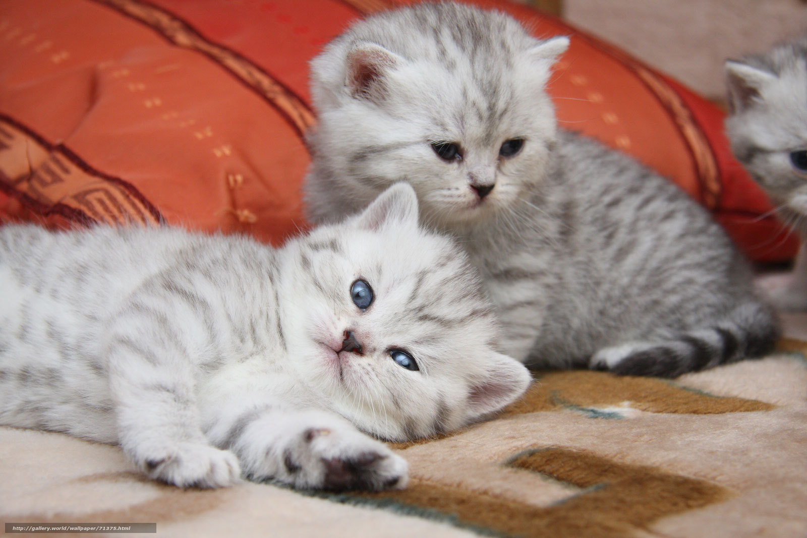 Скачать обои кошки котята мило