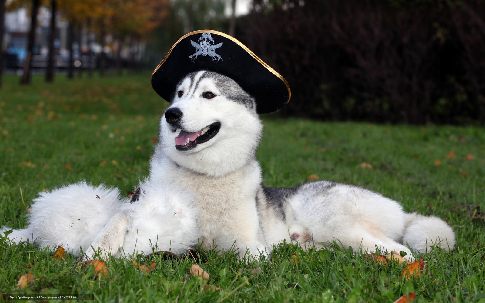 обои, хаска, шляпа, собака, фото, обои ...: footboots.ru/gdefon/filmfotos/full/164235-filmfotos