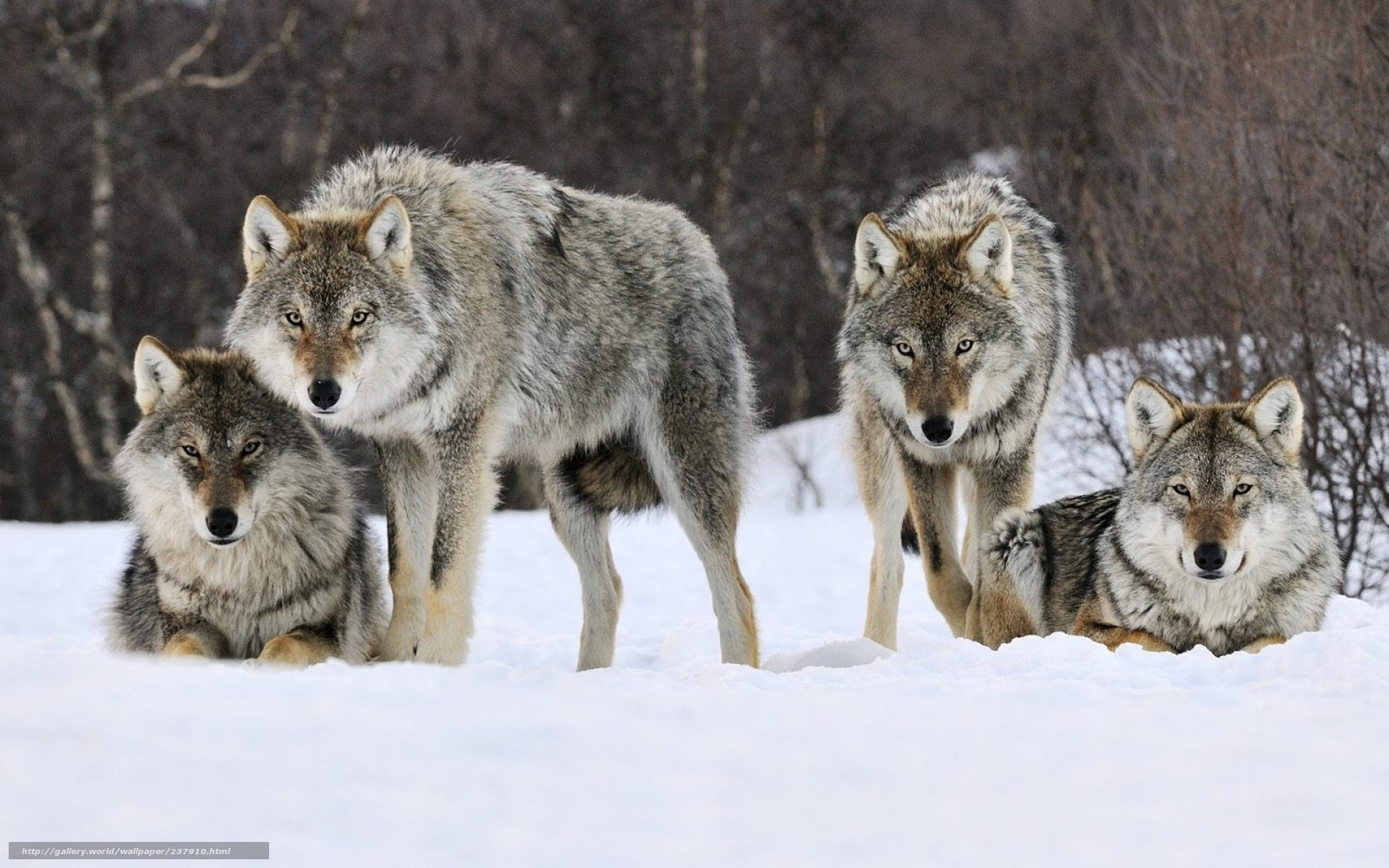 Картинка волки целуются - 7427