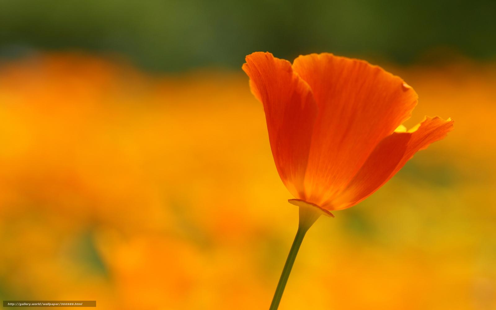 Мак цветок лепестки красный алый
