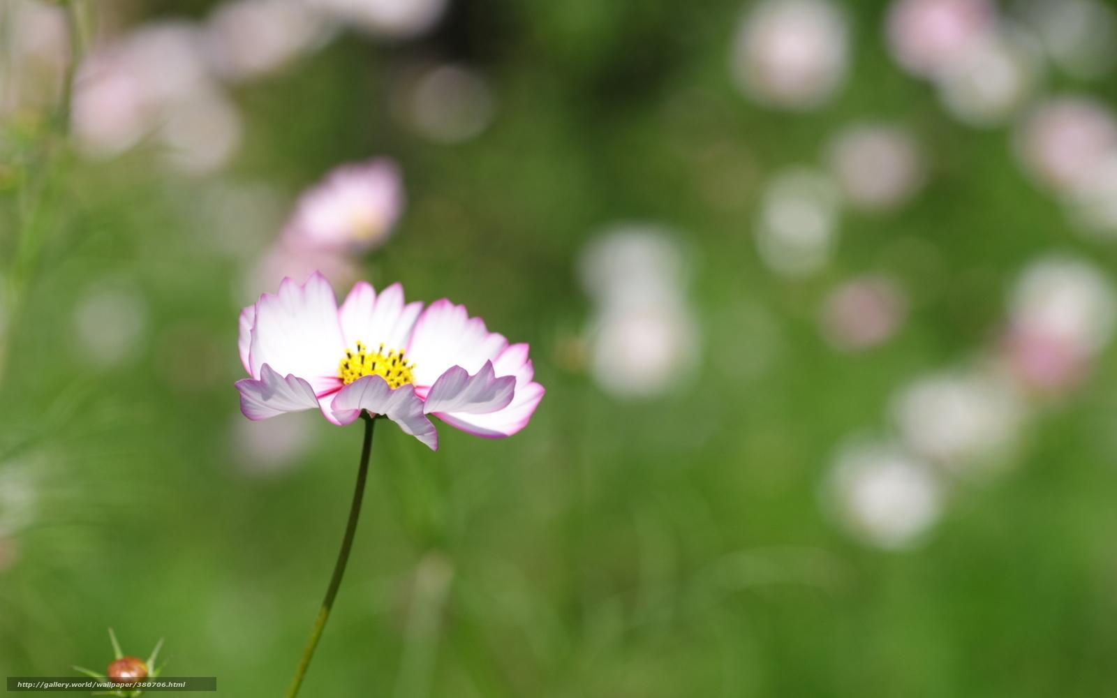 Скачать обои космея цветок белый