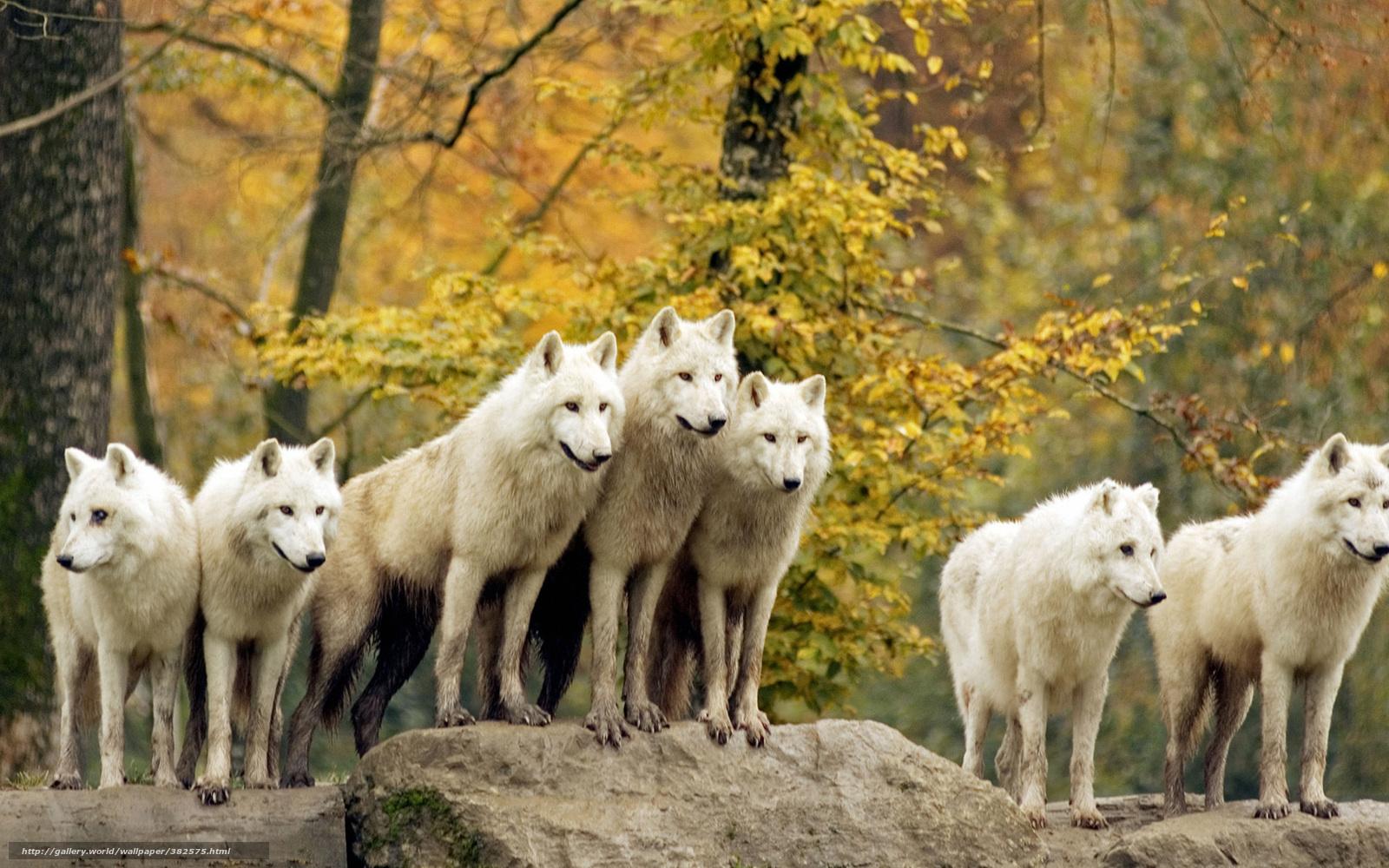 Картинка волки целуются - 6771