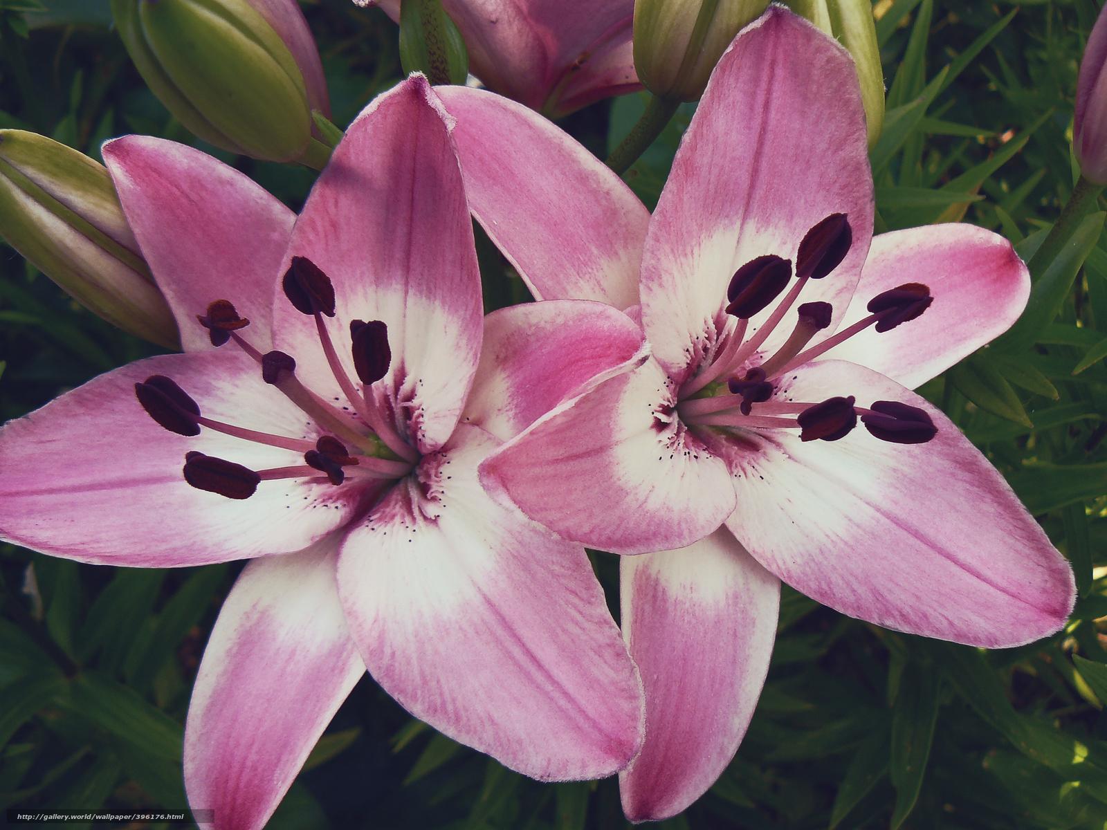 картинки цветок лилия: