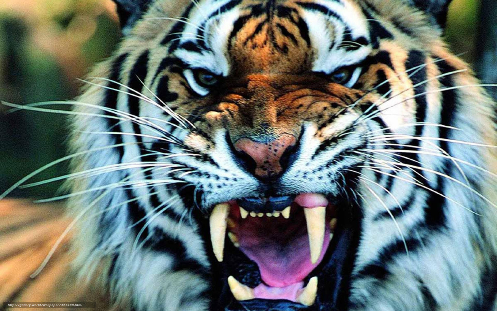 Search photos Category Animals gt Mammals gt Tigers