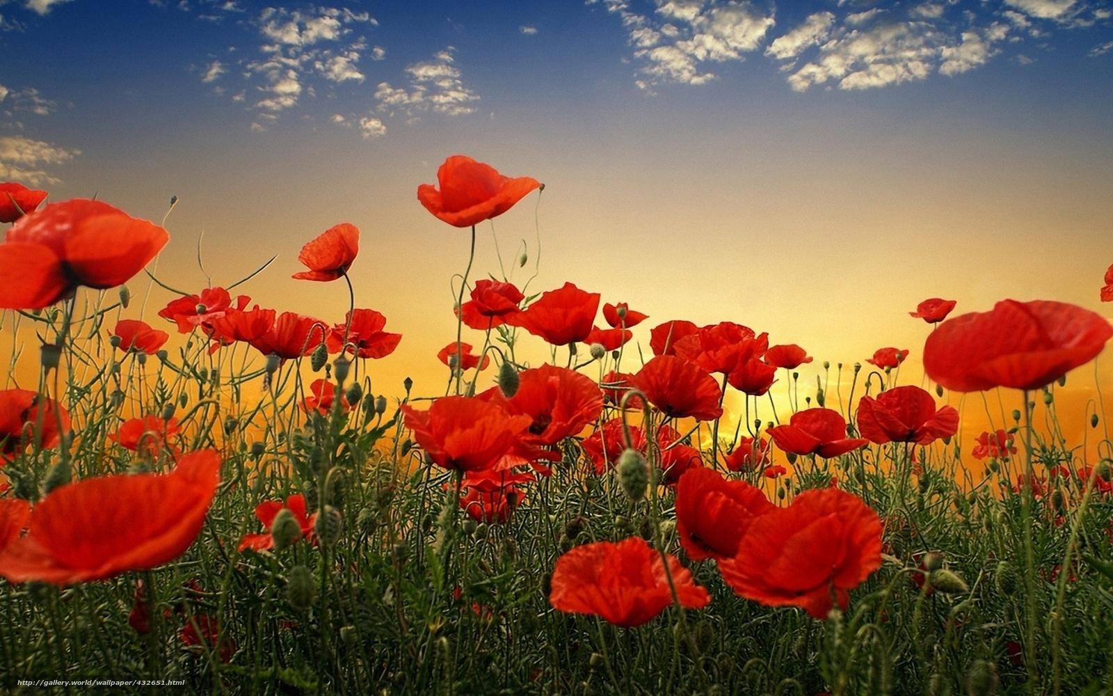 Фото полевых цветов большого разрешения