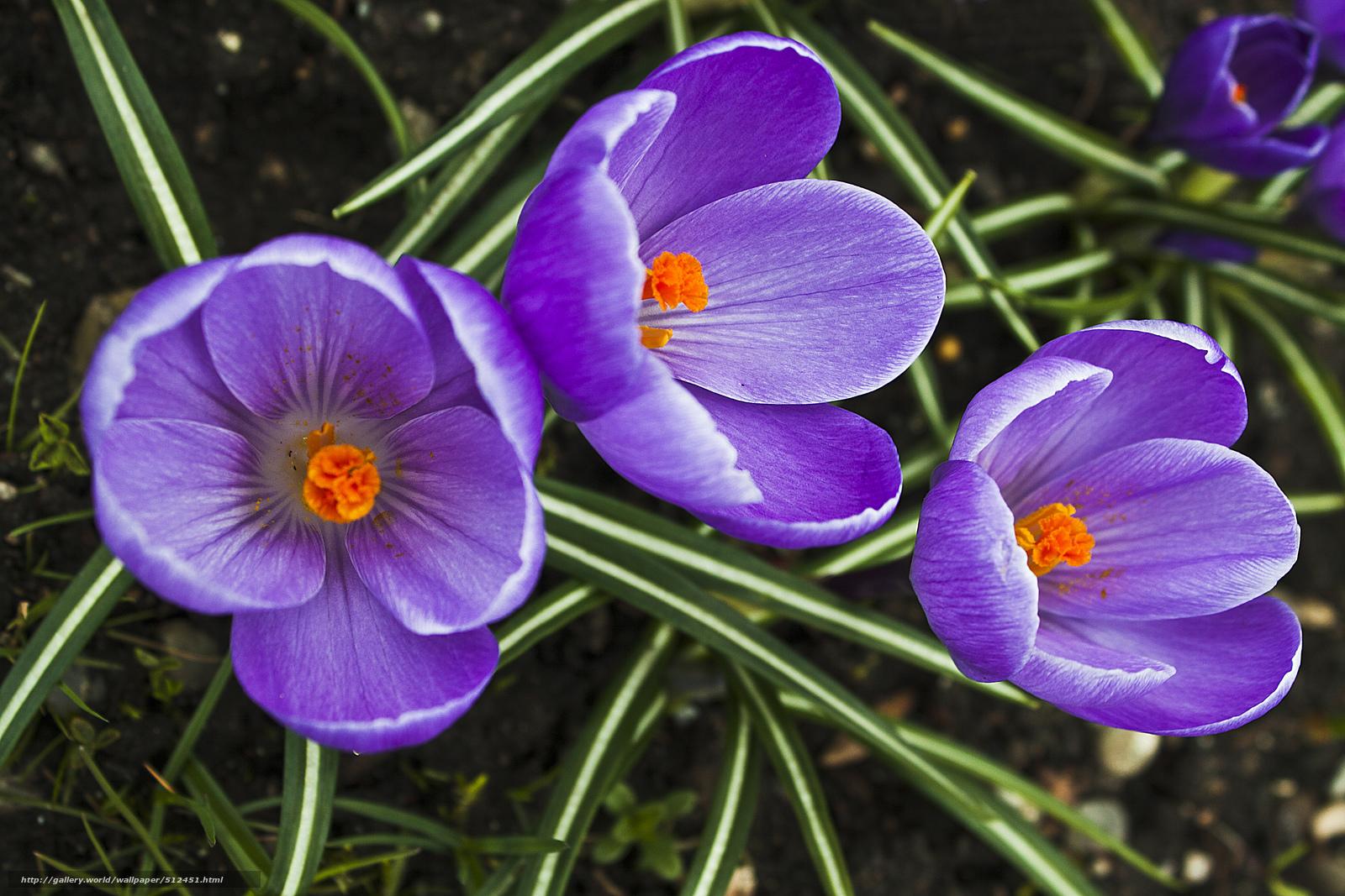 цветы крокусы фото: