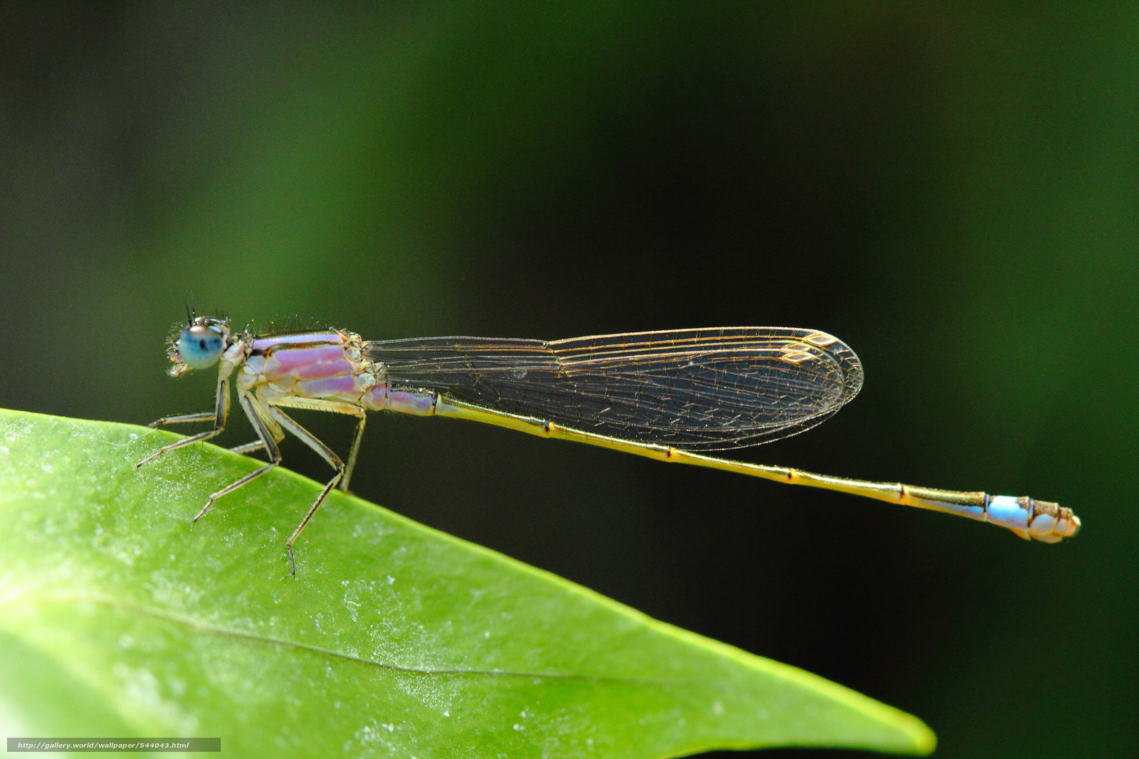Скачать обои на тему стрекоза dragonfly