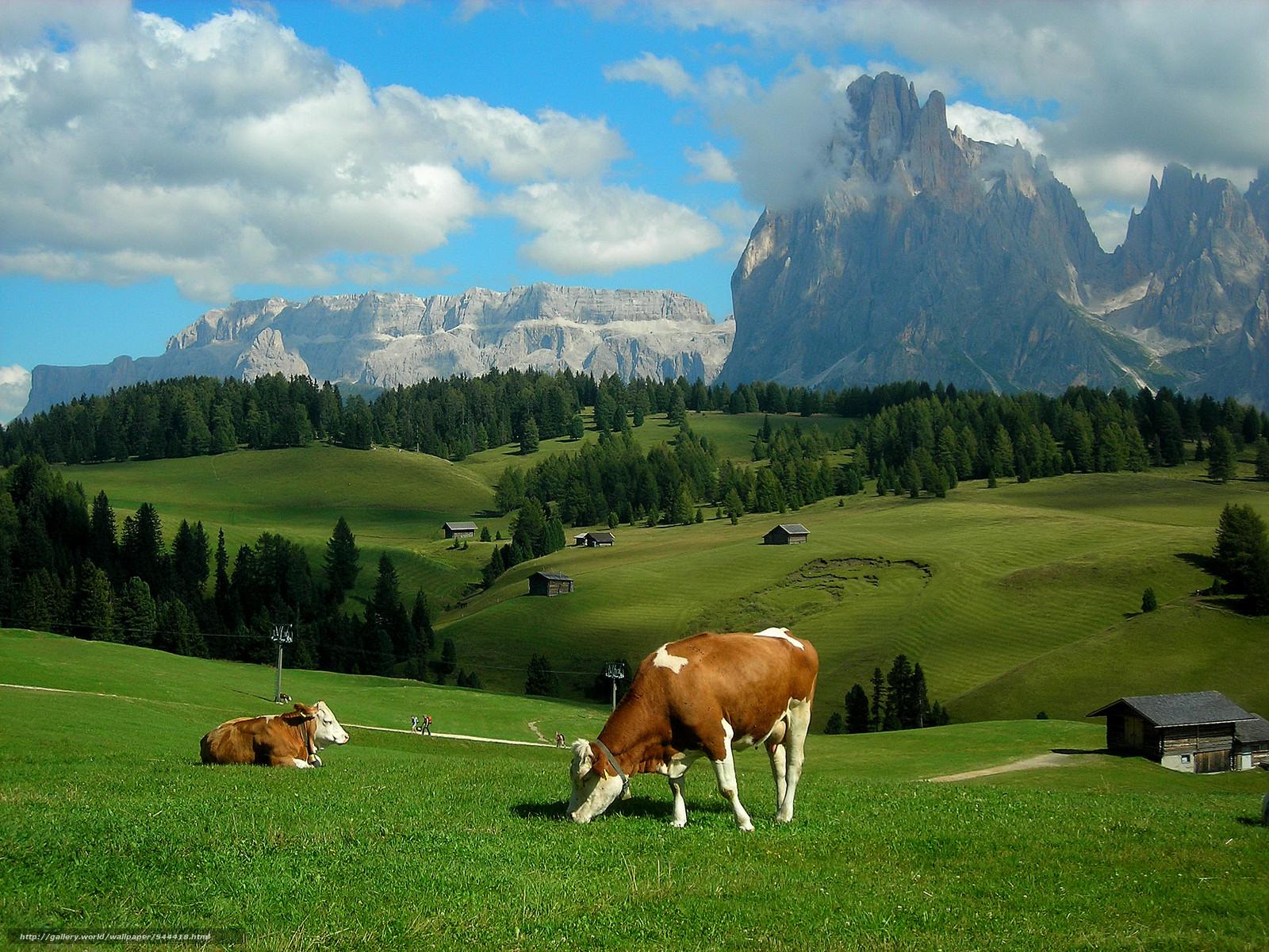Фото обои для рабочего стола коровы