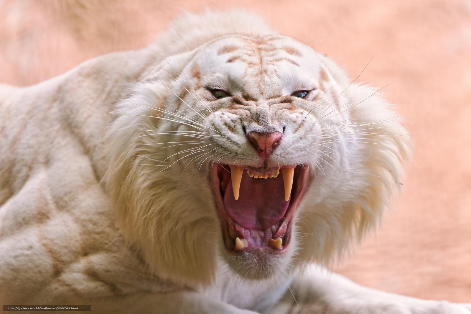 белый тигр, хищник, оскал