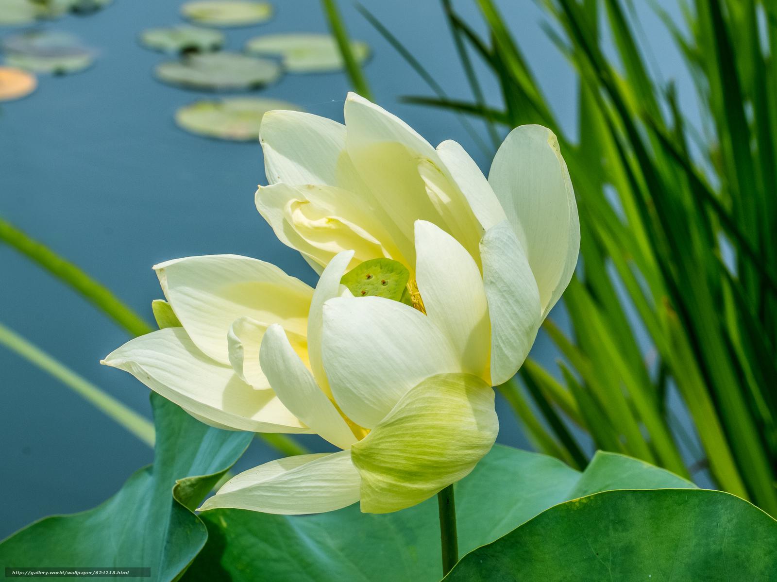 Фото цветка лотос с высоким разрешением