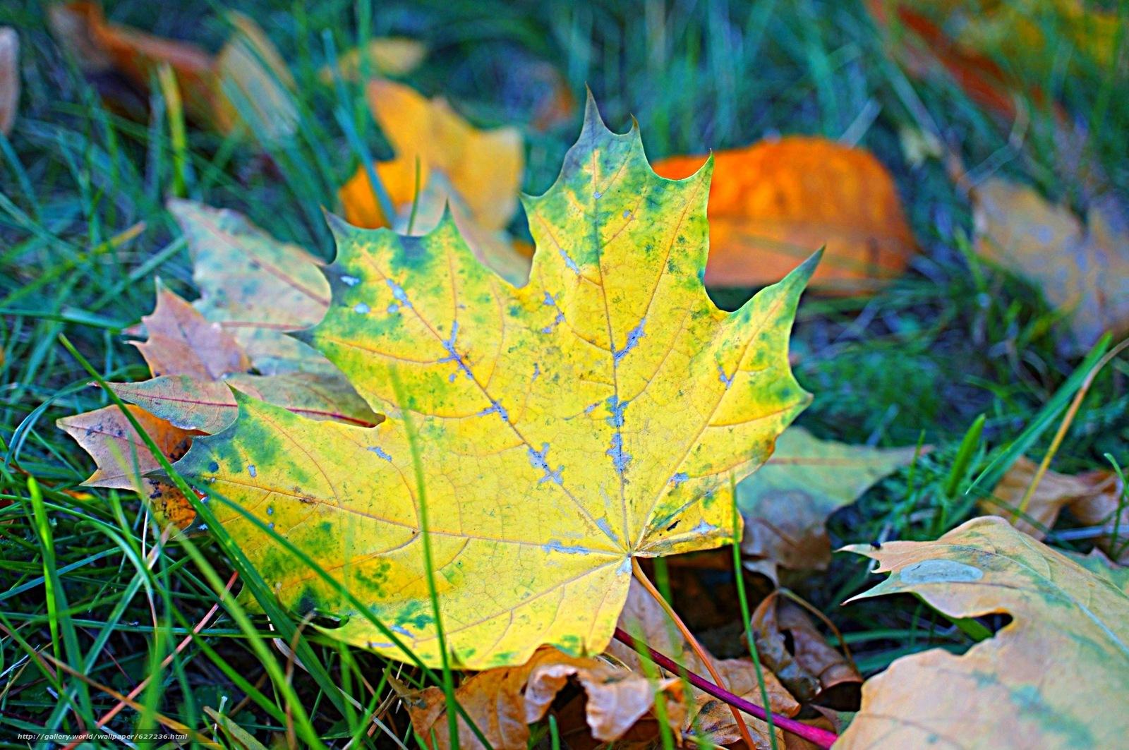 осень, листья, клён, макро