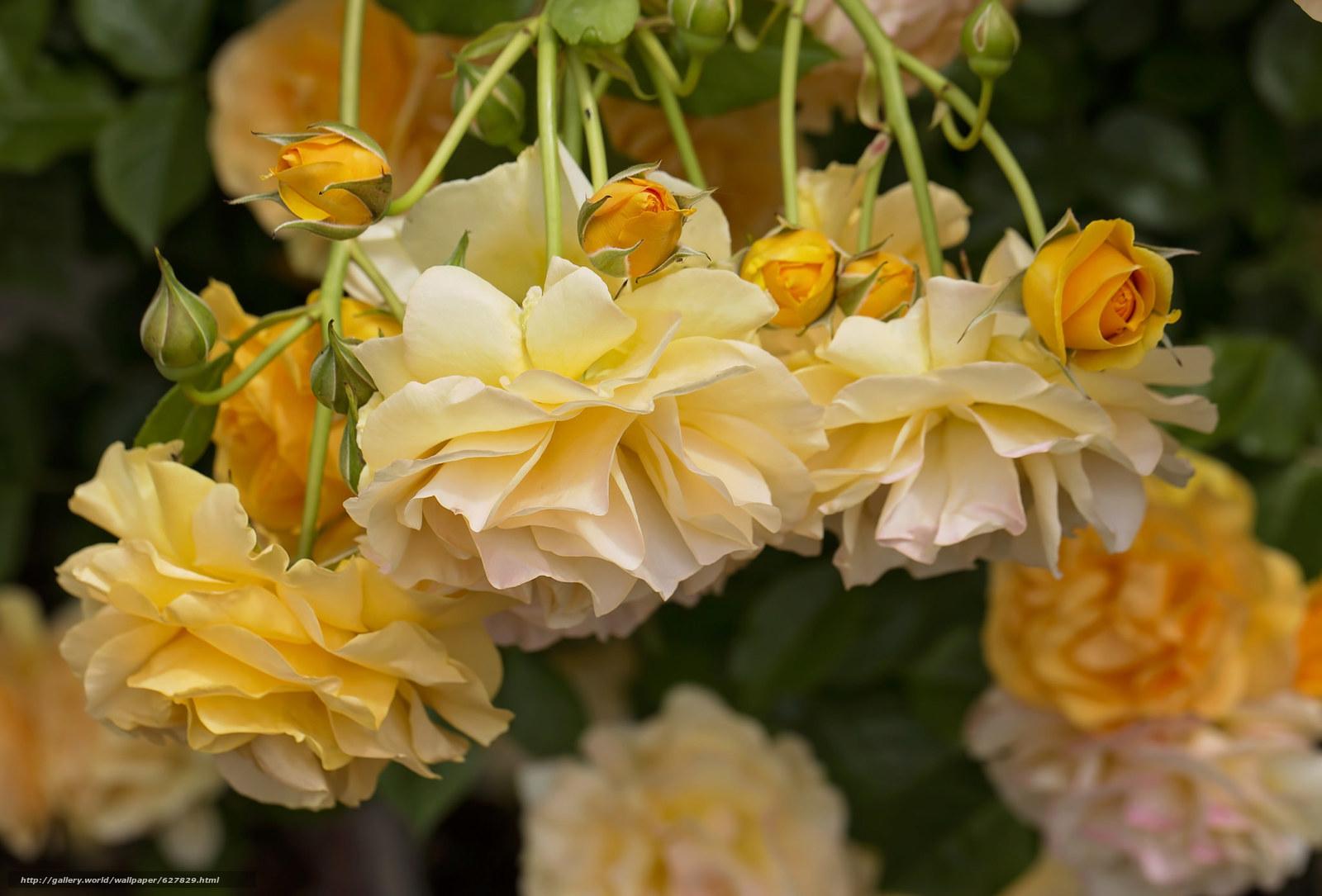 жёлтые розы, розы, бутоны
