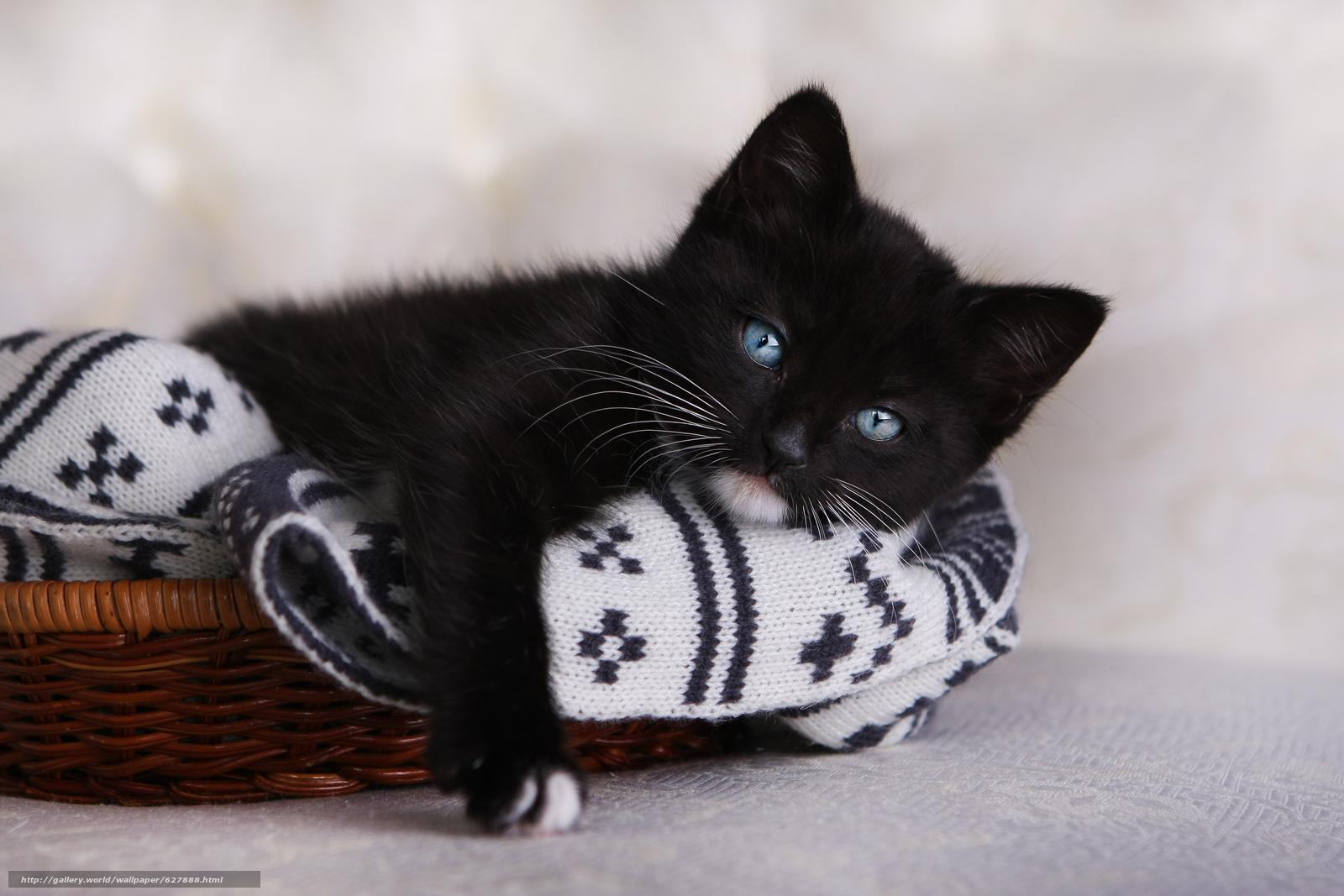 чёрный котёнок, голубые глаза, котёнок, взгляд