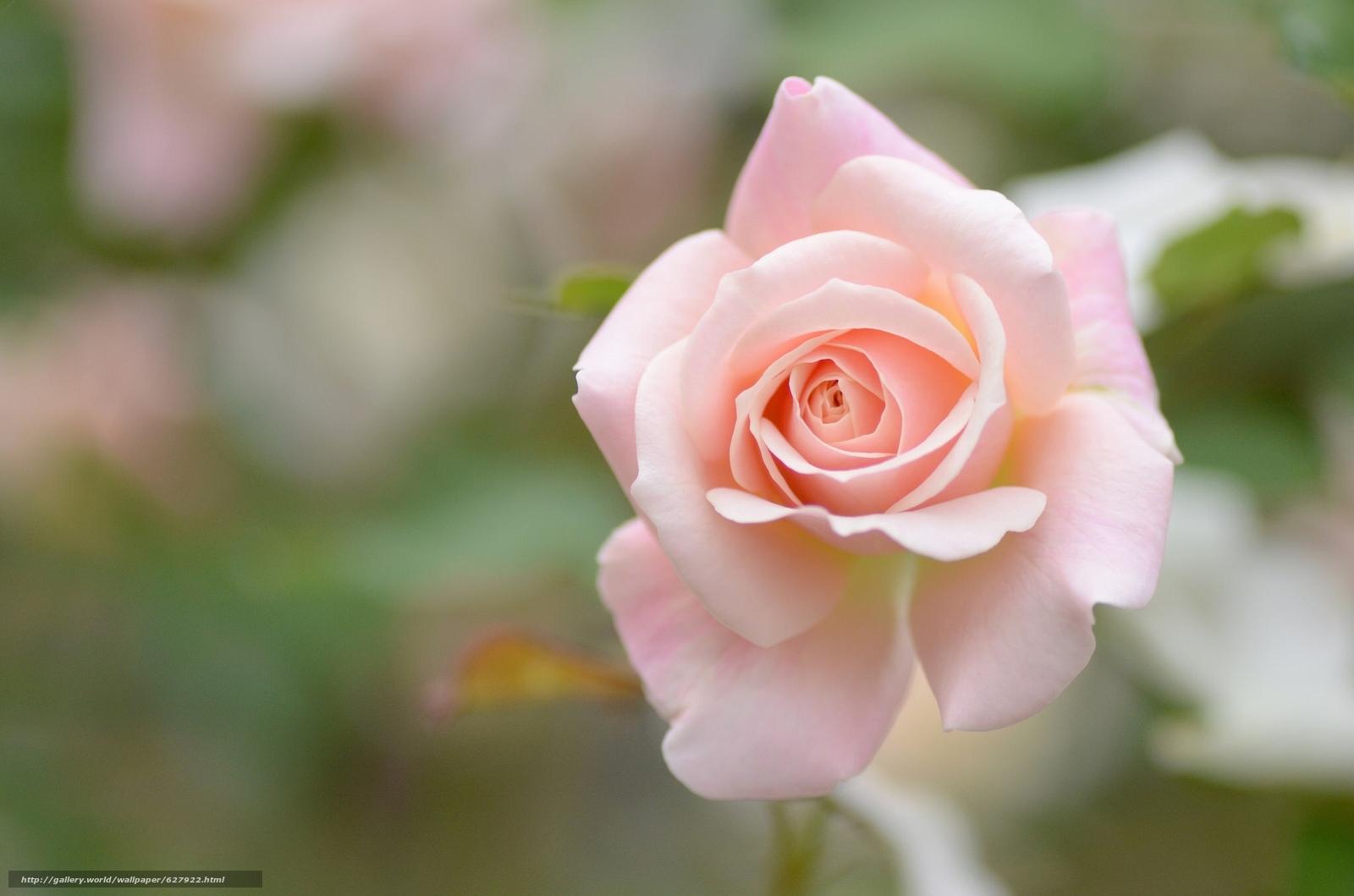 роза, бутон, макро, боке
