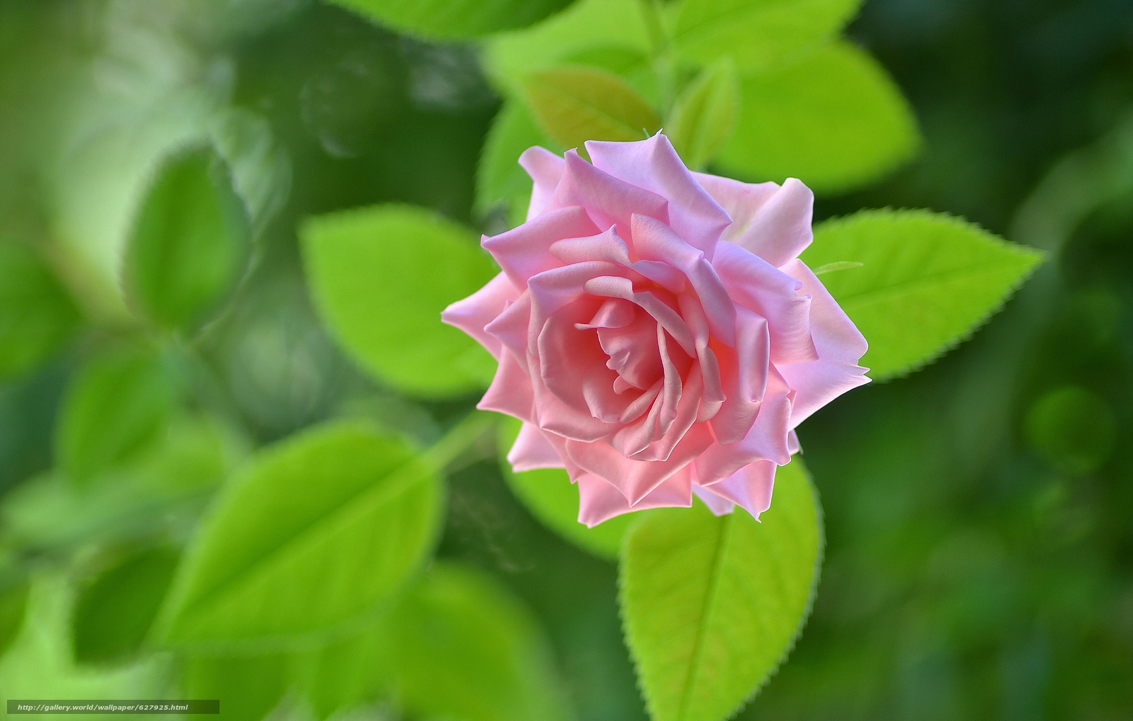 роза, бутон, макро