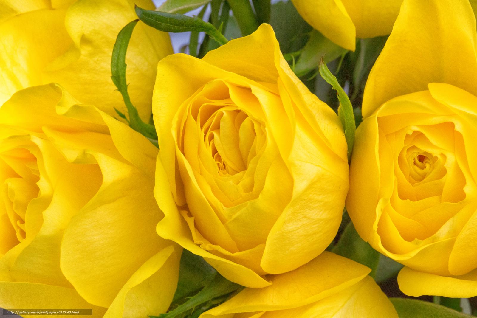 жёлтые розы, розы, бутоны, макро