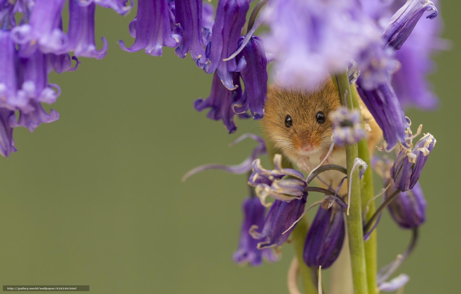 Harvest Mouse, Мышь-малютка, мышка, колокольчики, цветы, макро