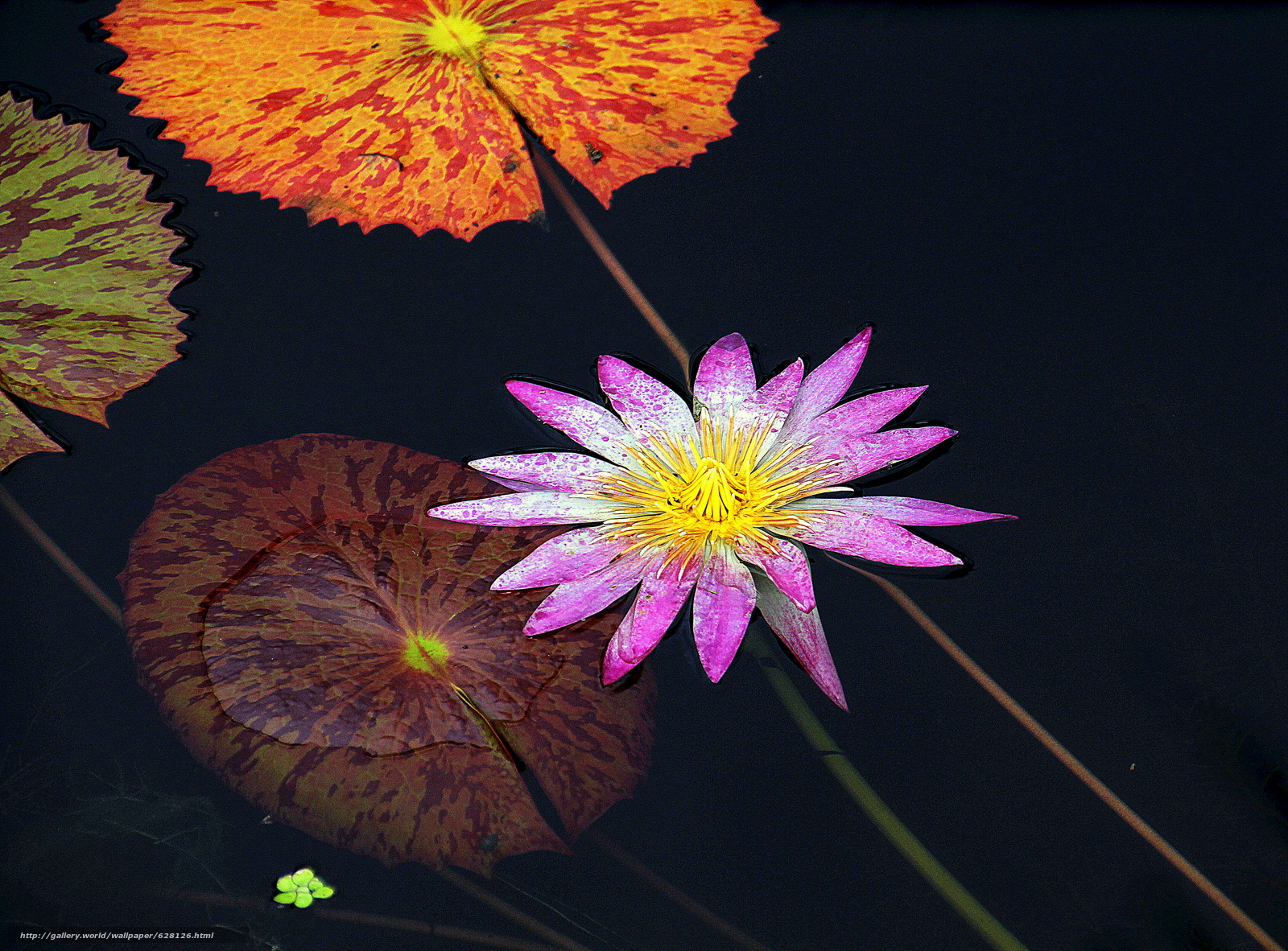Water Lily, Водяная лилия, цветок, флора