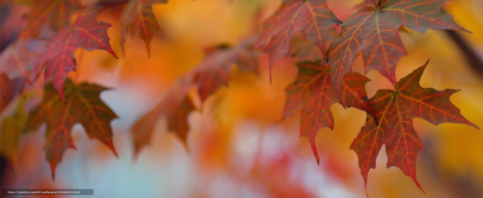 листья, клён, осень, макро