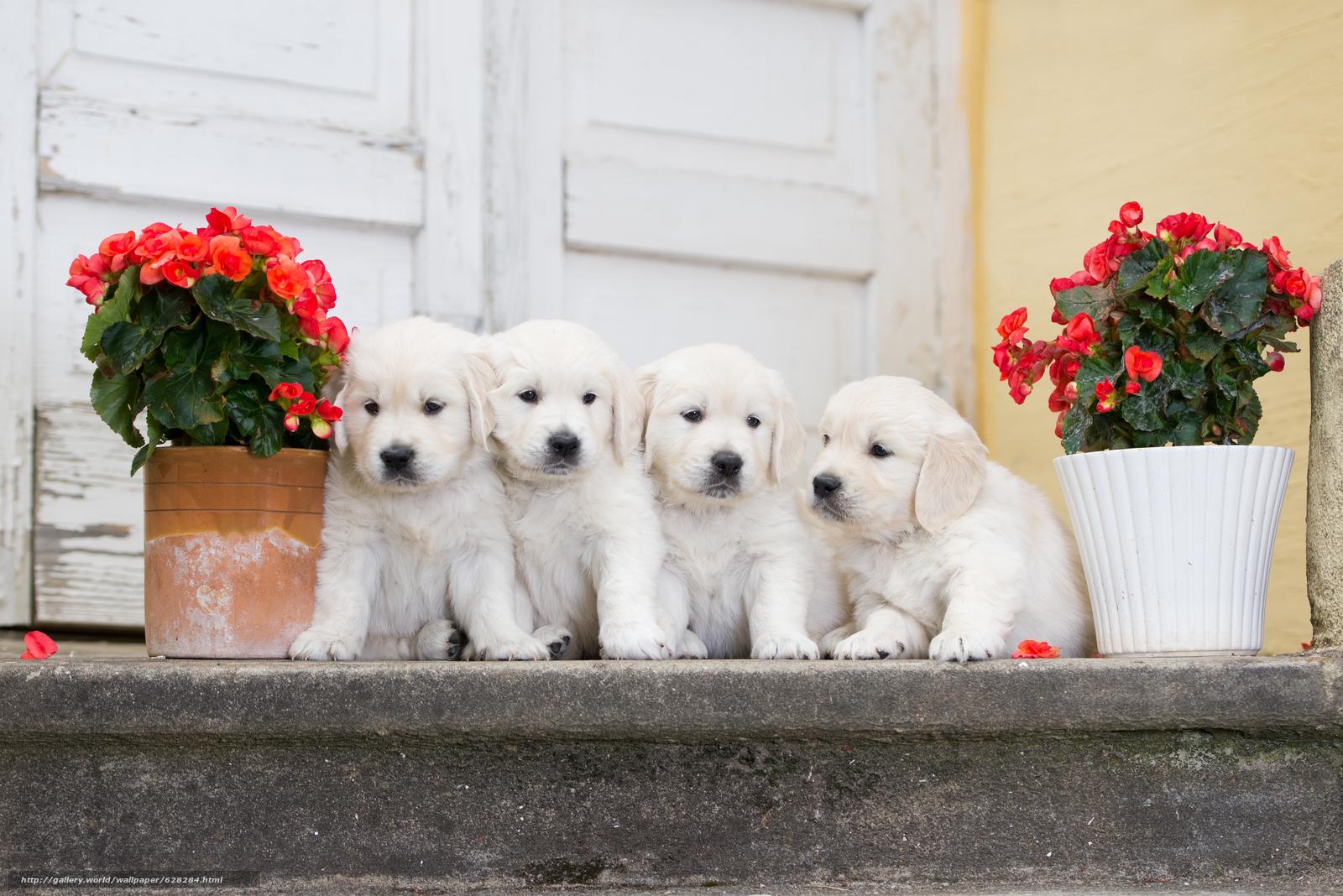 собаки, щенки, квартет, цветы, бегония