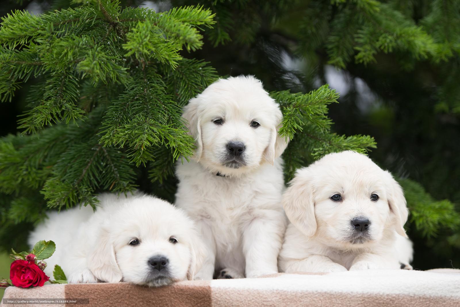 собаки, щенки, трио, троица, цветок, роза, еловые ветки