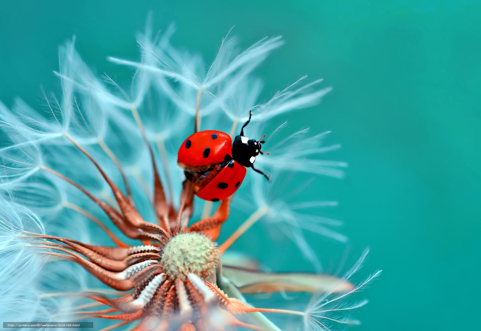 божья коровка, жук, насекомое, козлобородник, цветок, макро