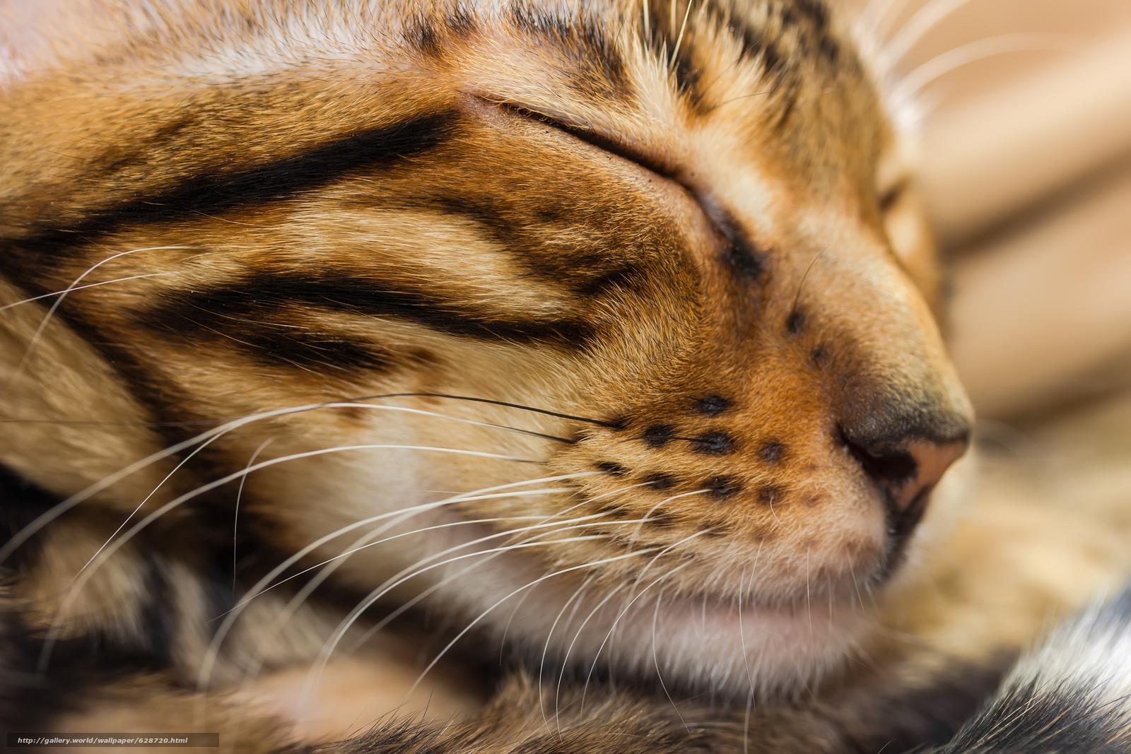 кот, кошка, морда, сон