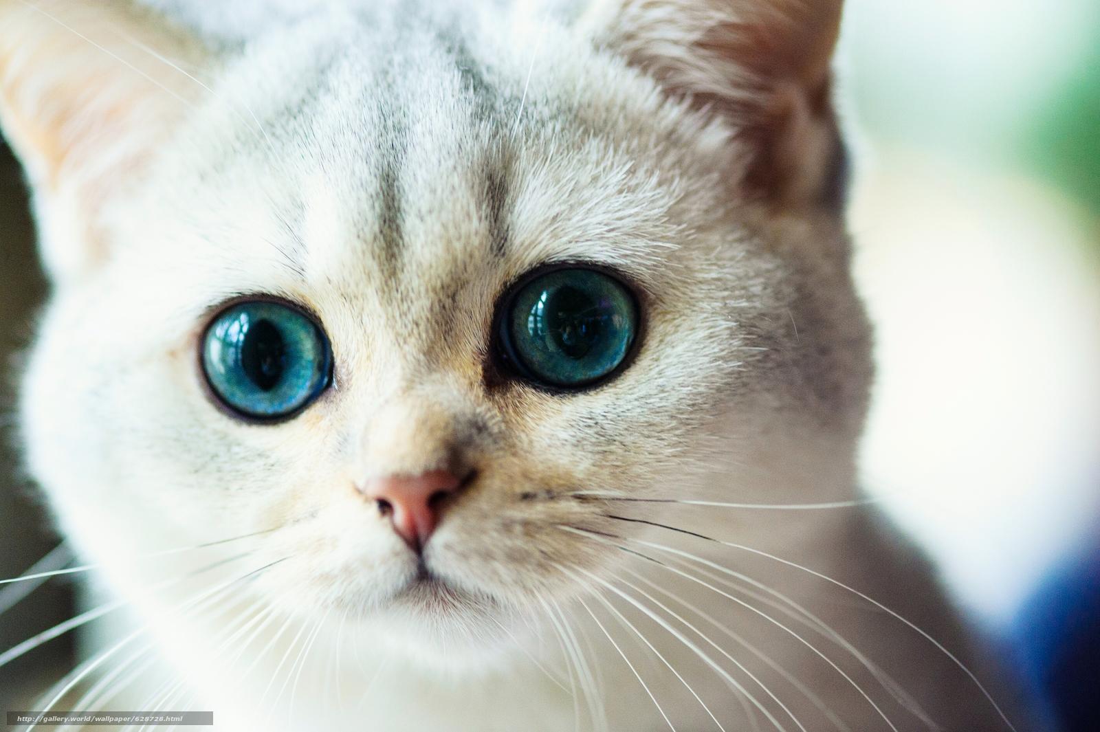 кошка, мордочка, глазища, взгляд, усы