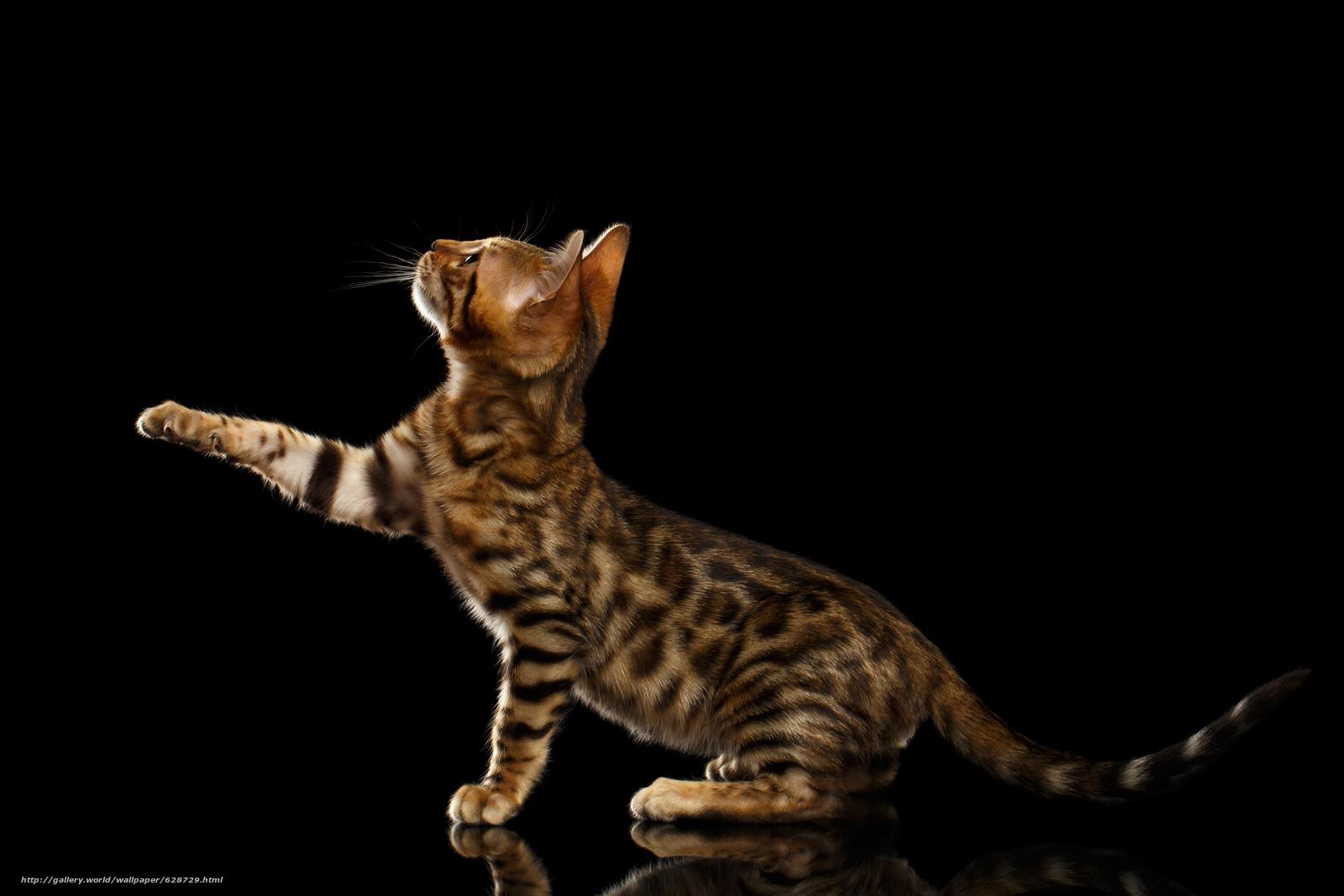 Бенгальская кошка, лапка, чёрный фон