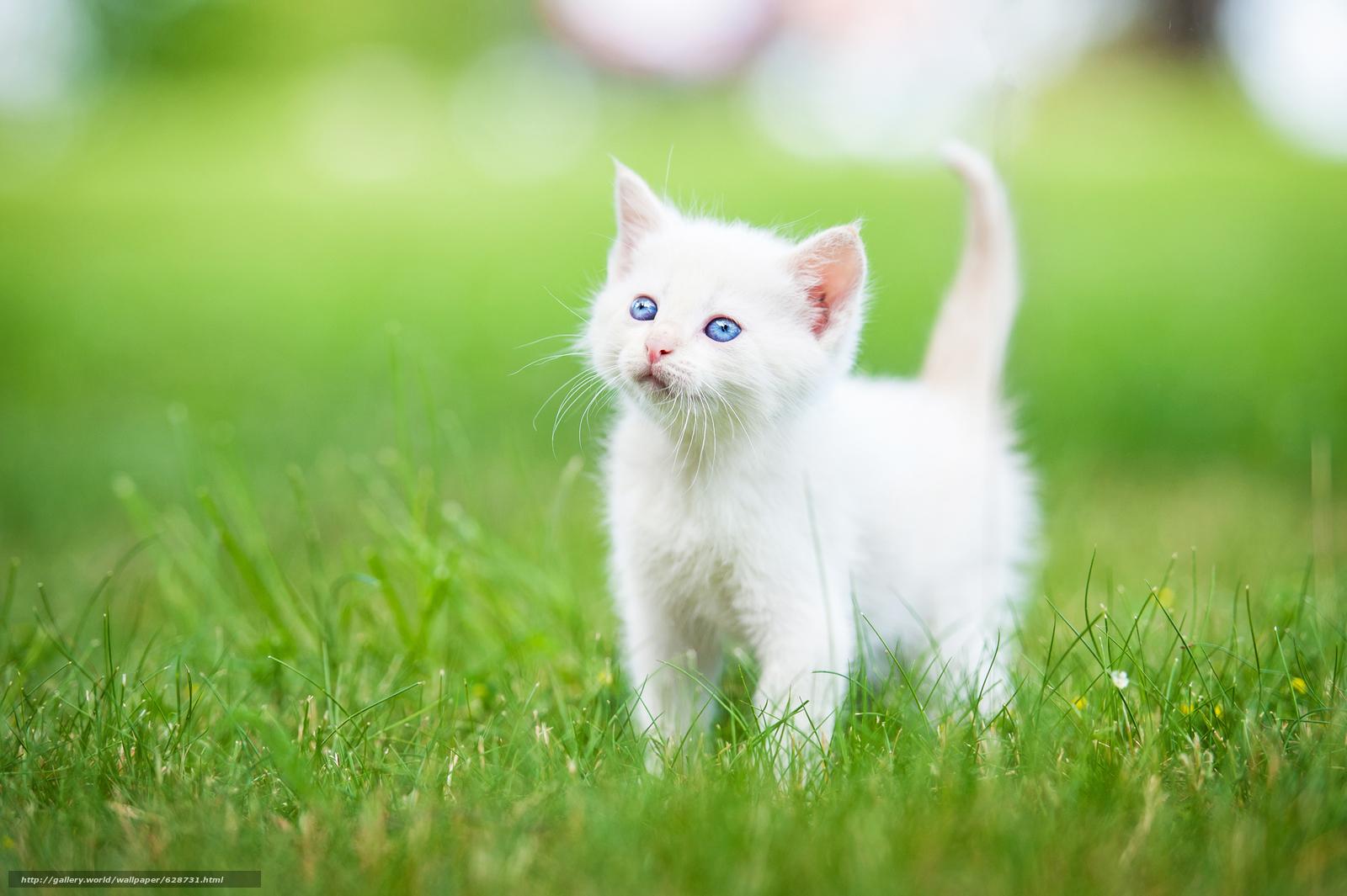 белый котёнок, котёнок, малыш, голубые глаза, трава