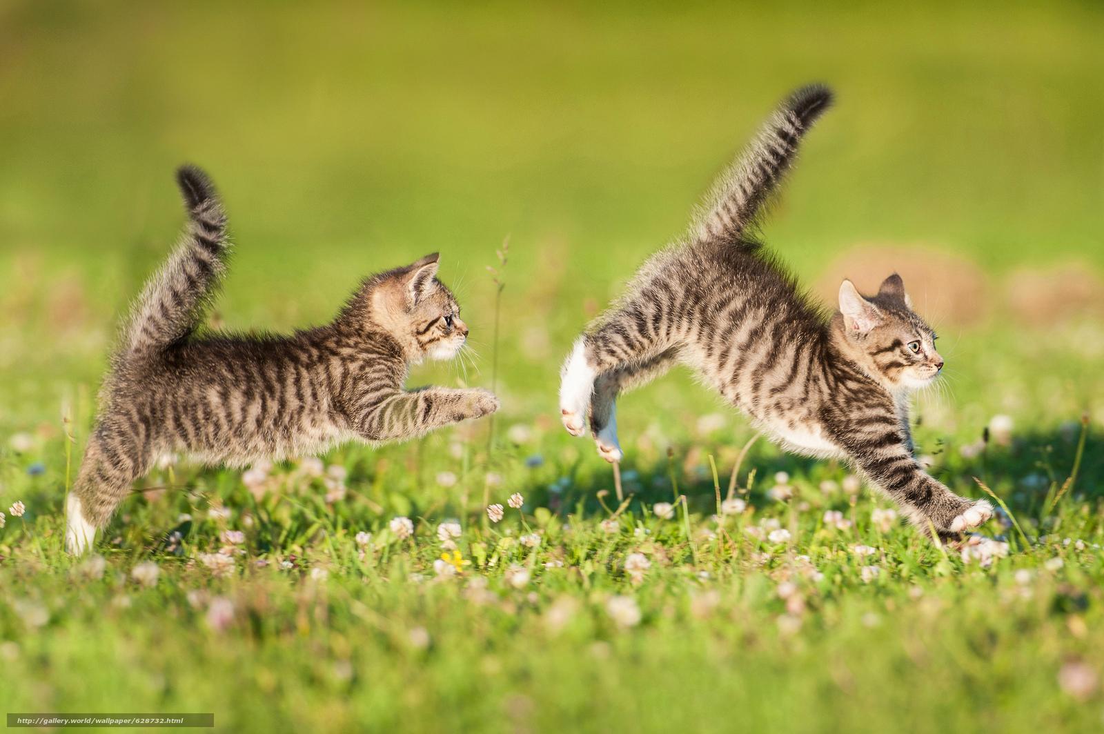 котята, двойняшки, парочка, хвостики, игра, догонялки, лужайка