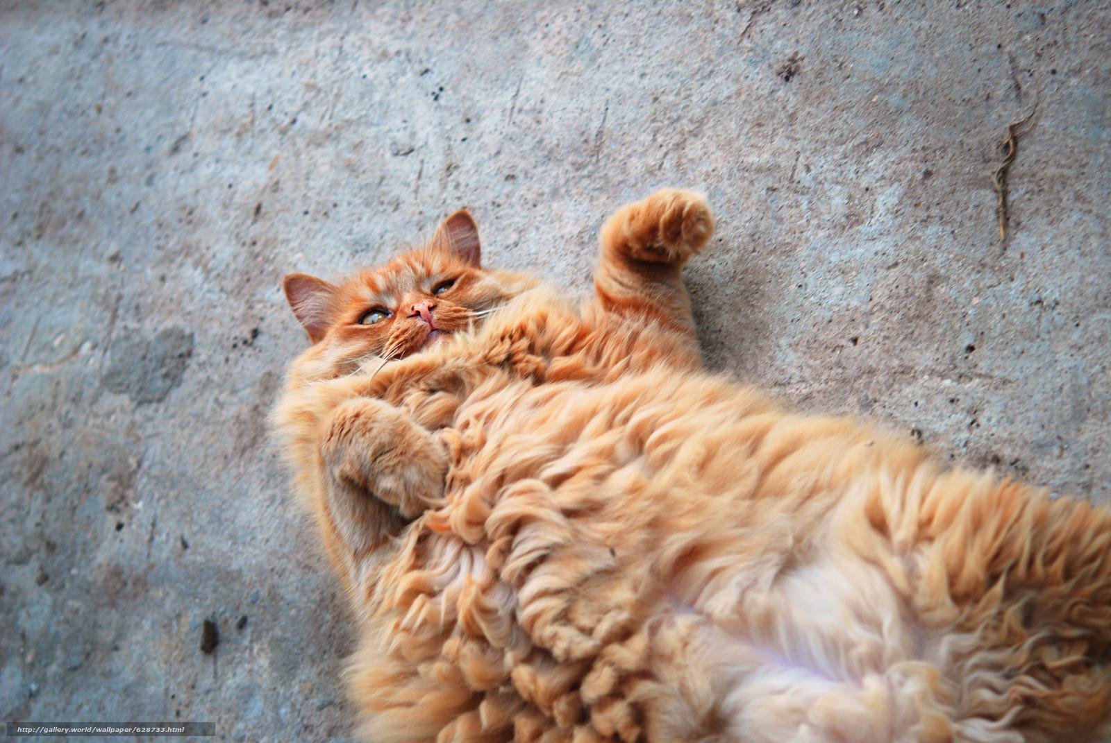 рыжий кот, кот, котяра, рыжий, пушистый, жиртрест