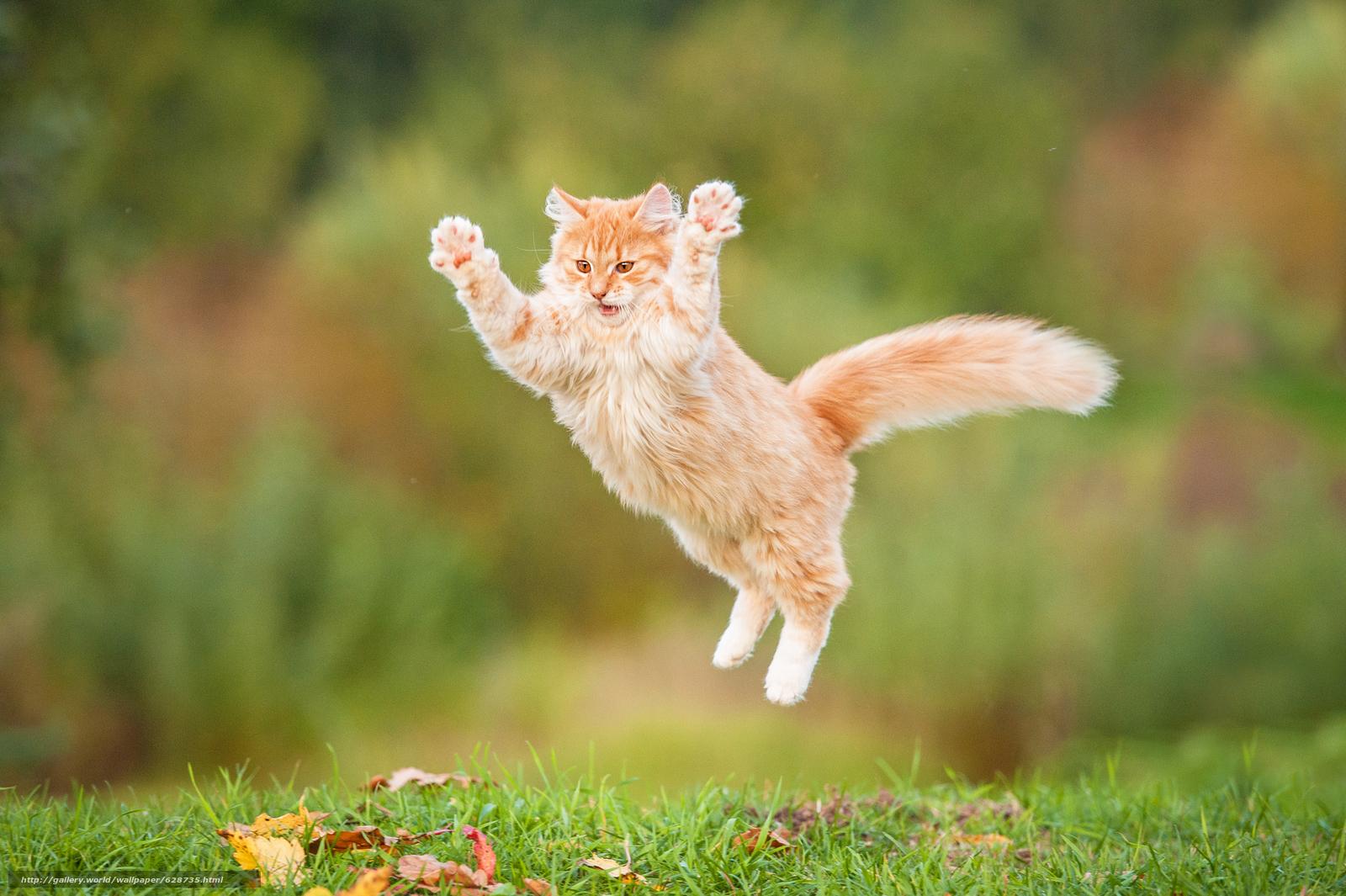 рыжий кот, кот, рыжий, пушистый, прыжок